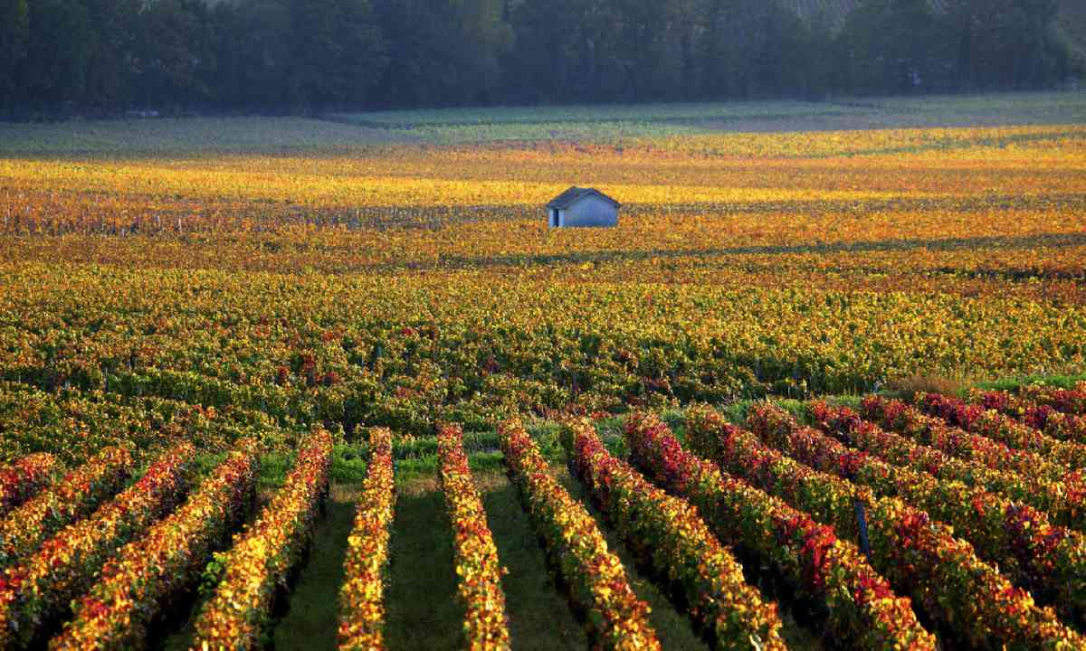 Vineyards near Savigny-les-Beaune, Burgundy (Shutterstock)