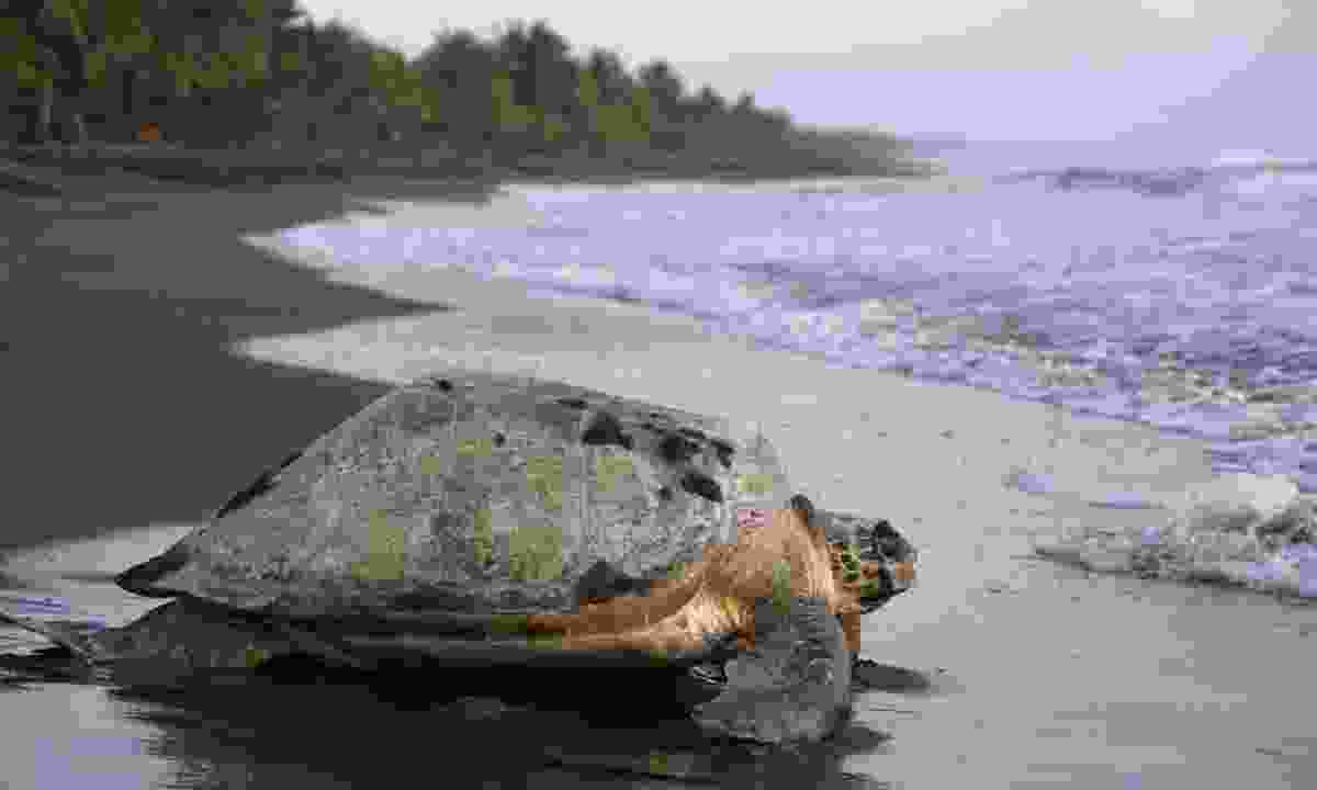 A sea turtle in Tortuguero National Park (Shutterstock)