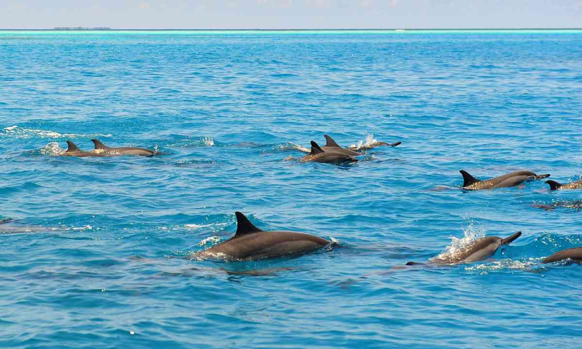 Wild dolphins in the Maldives (Shutterstock)