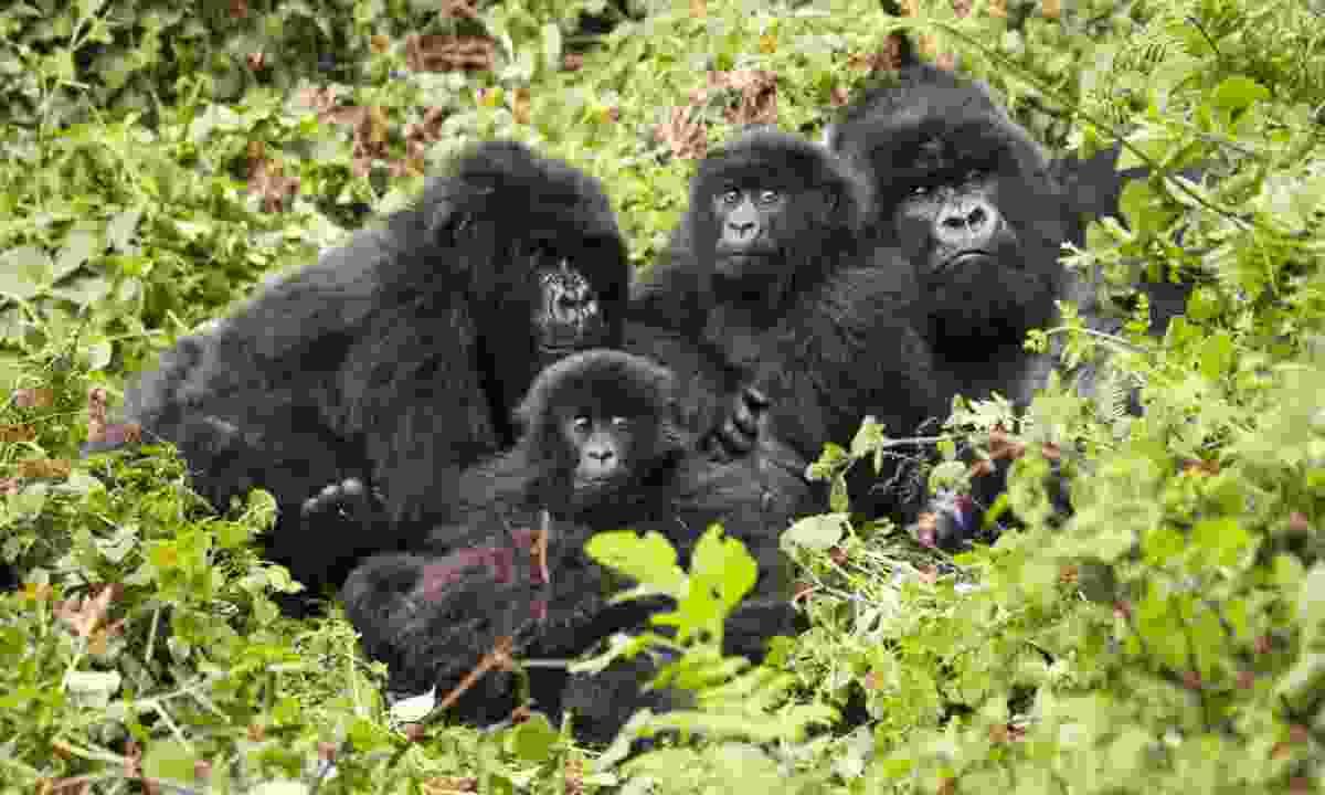 Mountain gorillas in Rwanda (Shutterstock)
