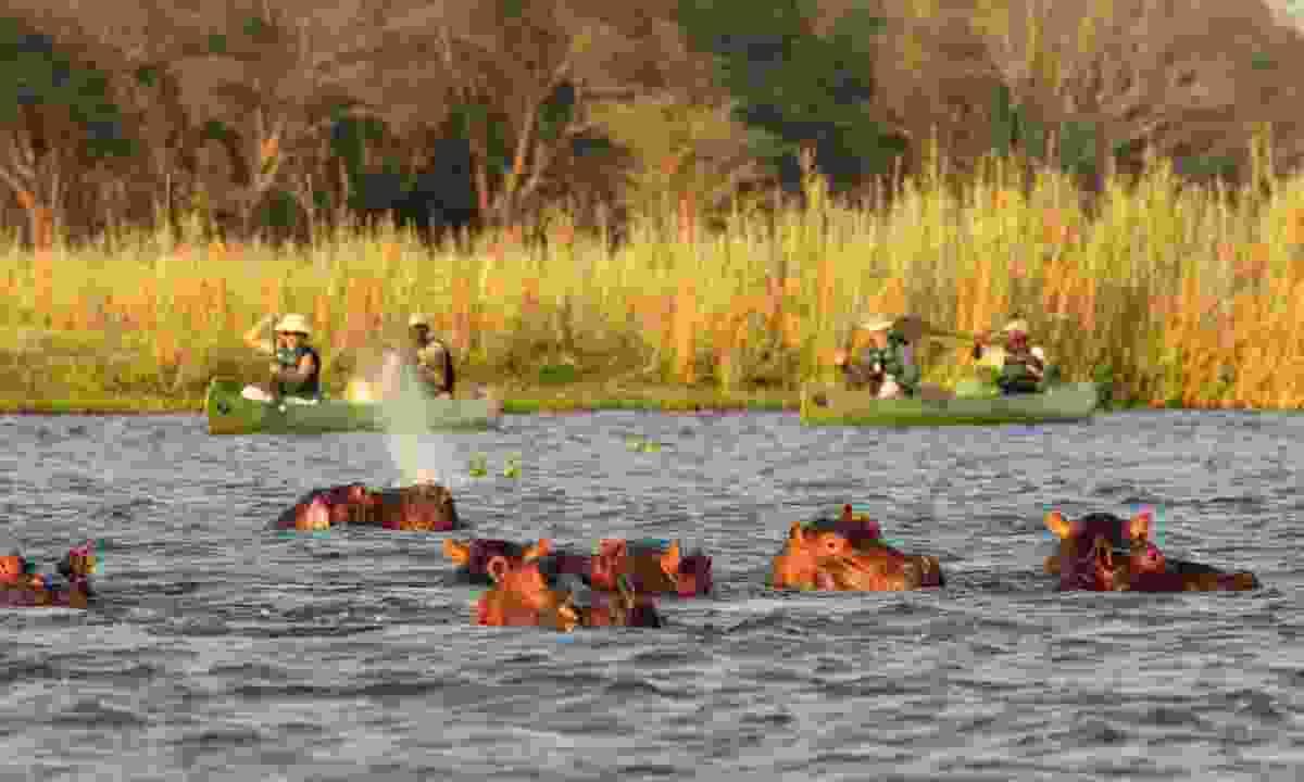Hippos in Zambia (Wildlife Worldwide)