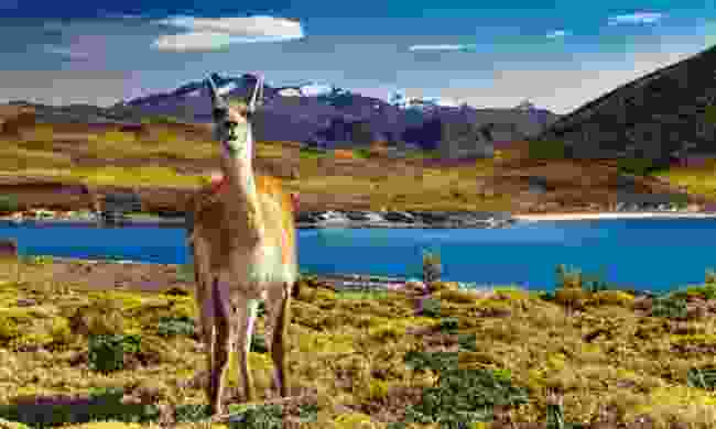 Guanaco in Torres del Paine National Park, Chile (Shutterstock)