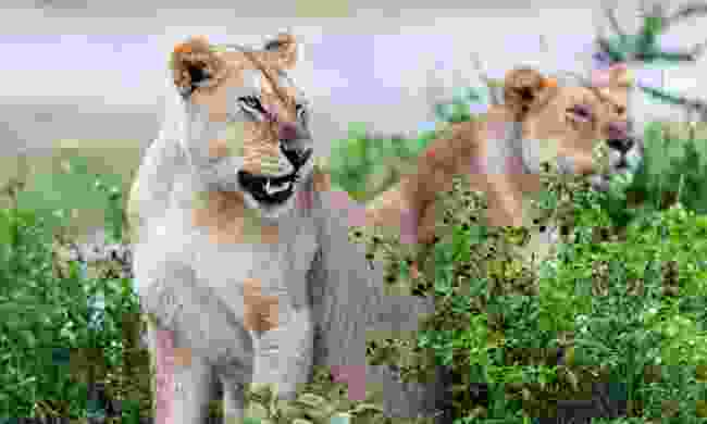 Lionesses in the rain, Serengeti (Shutterstock)