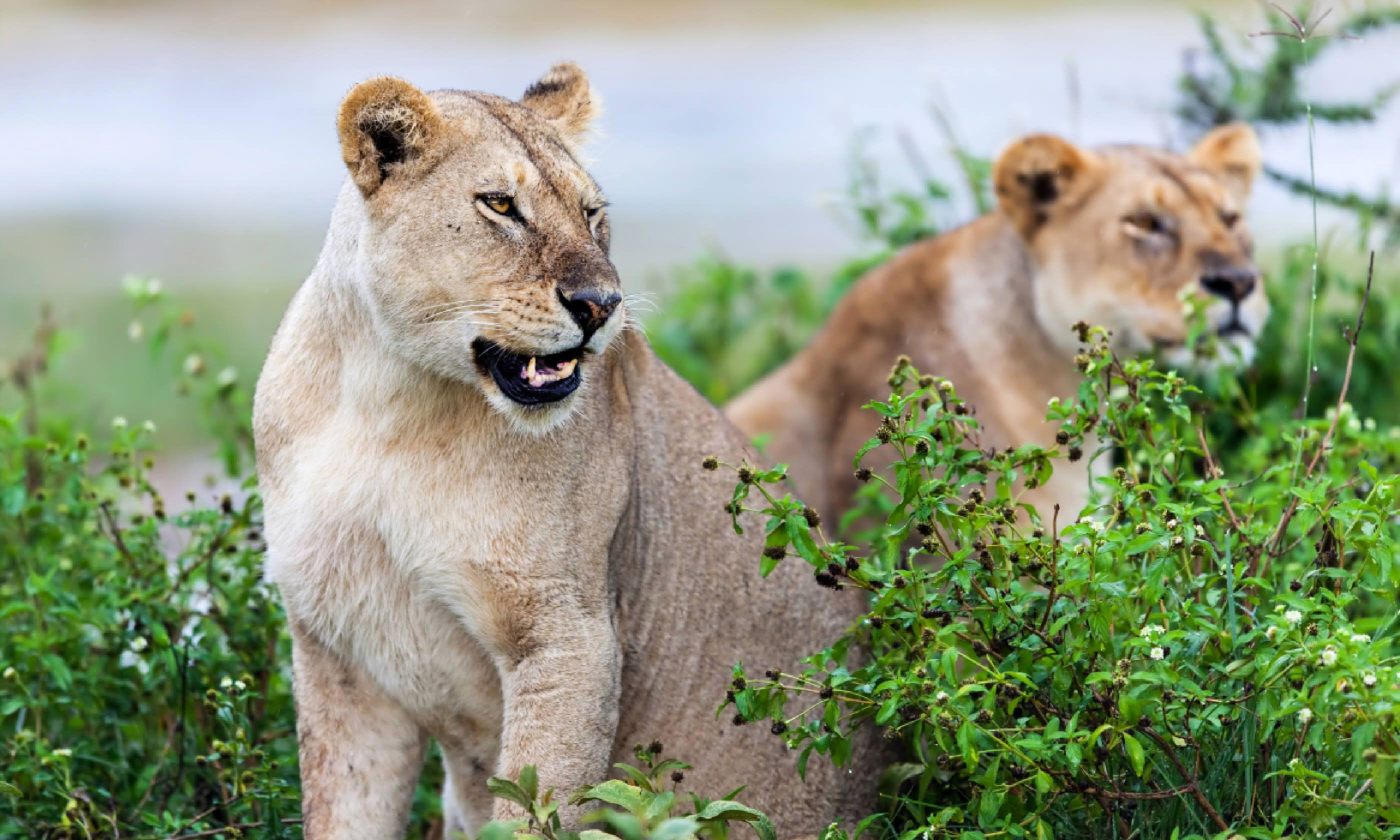 Lionesses in the rain, Serengeti (Shutterstock)