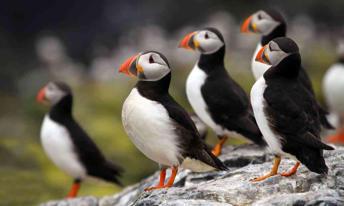 Atlantic Puffins on Lundy Island (Shutterstock)