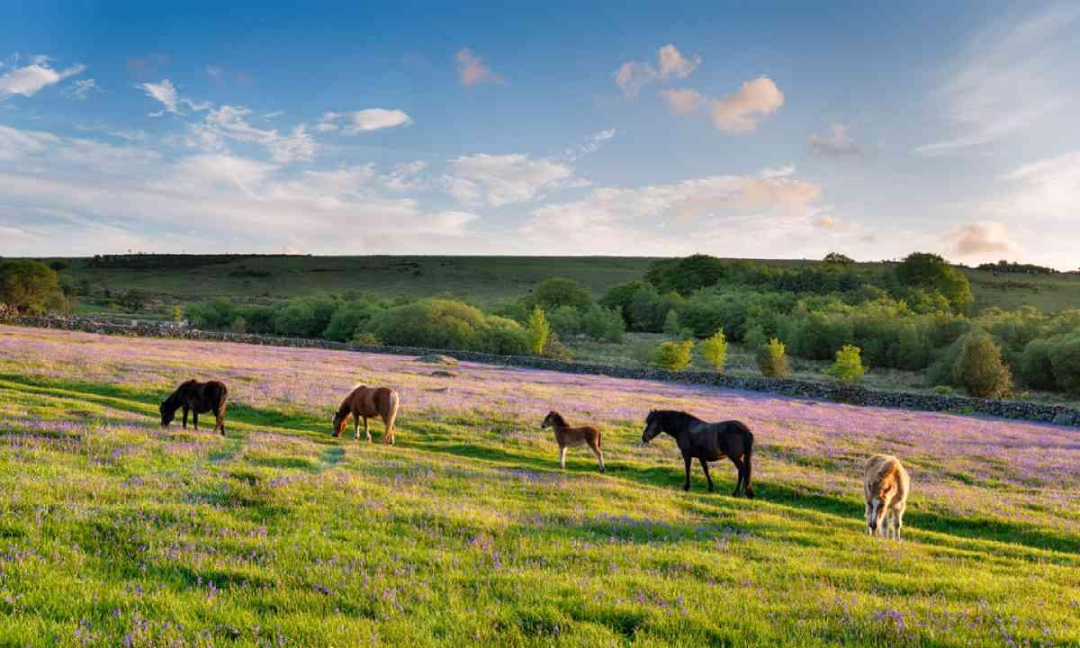 Ponies in Dartmoor National Park (Shutterstock)