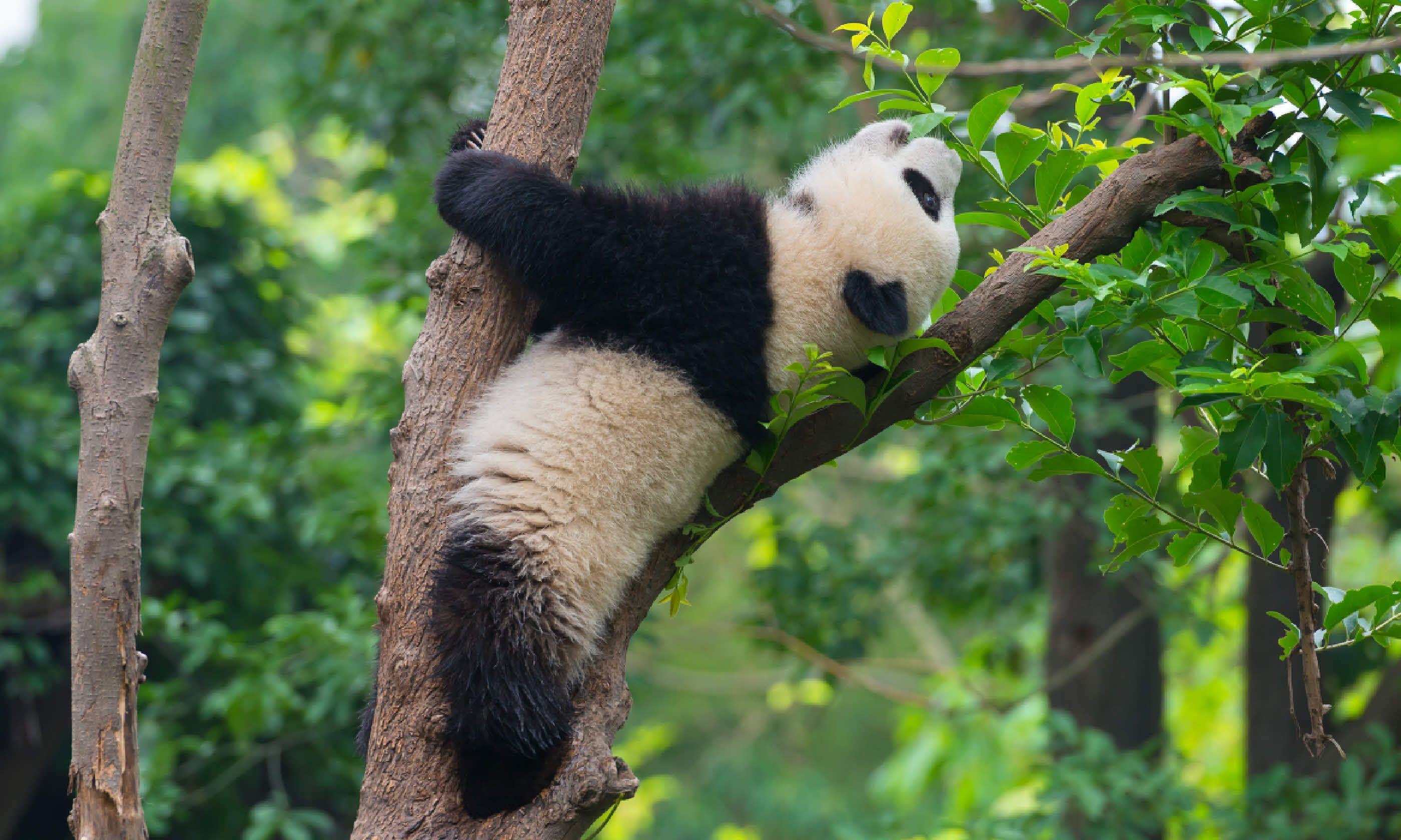 Panda bear, Chengdu (Shutterstock)