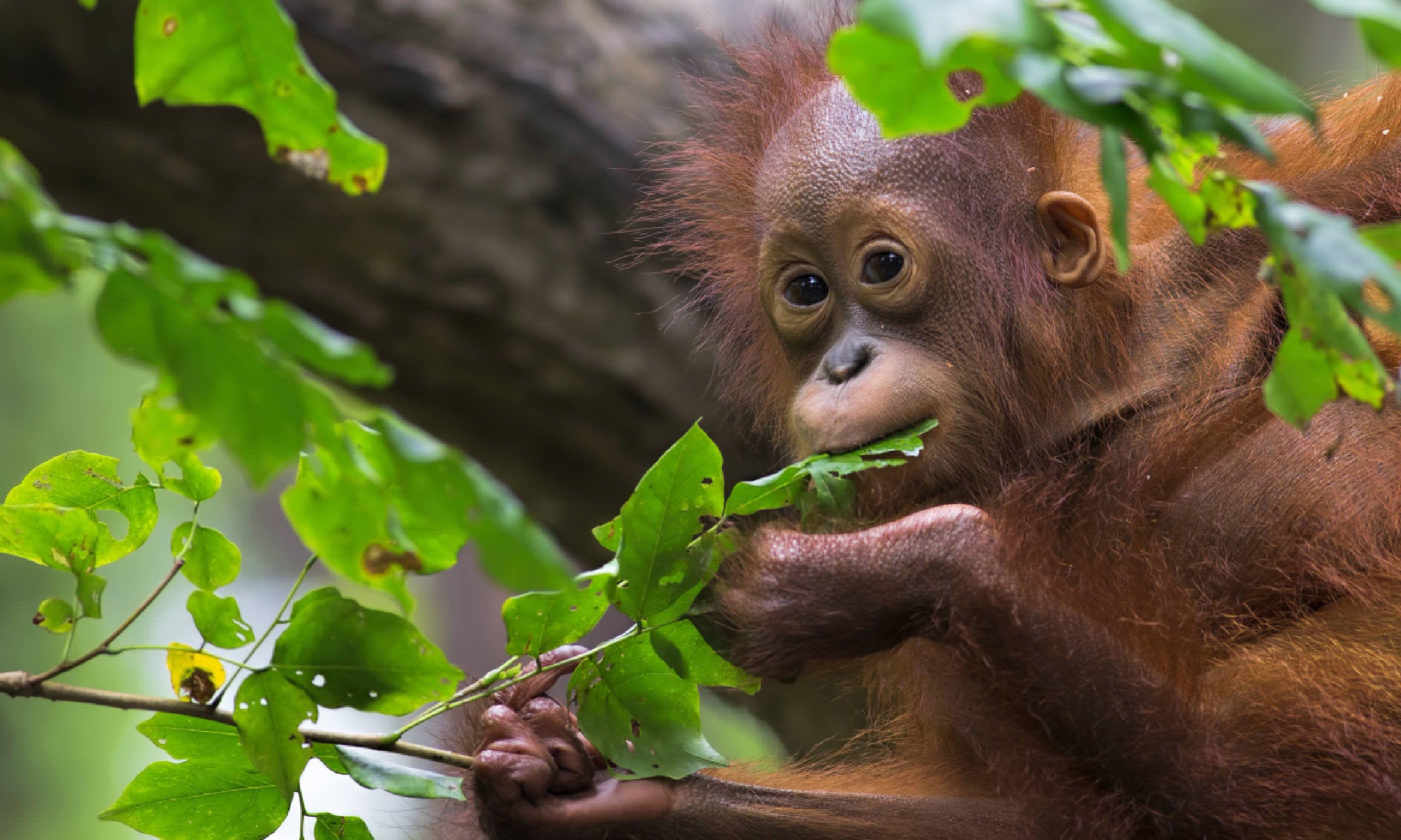 Orang utan in Borneo (Shutterstock)