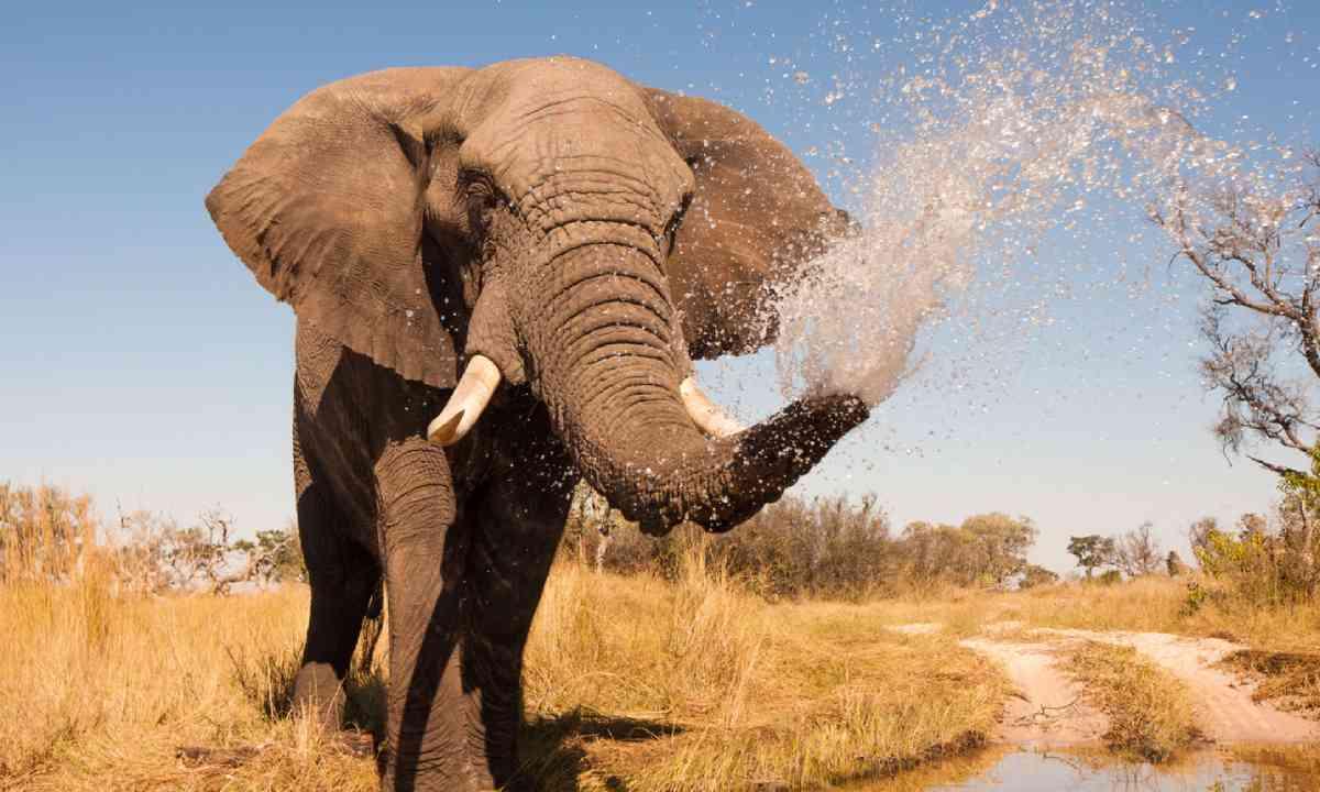 Elephant in Okavango Delta (Shutterstock)