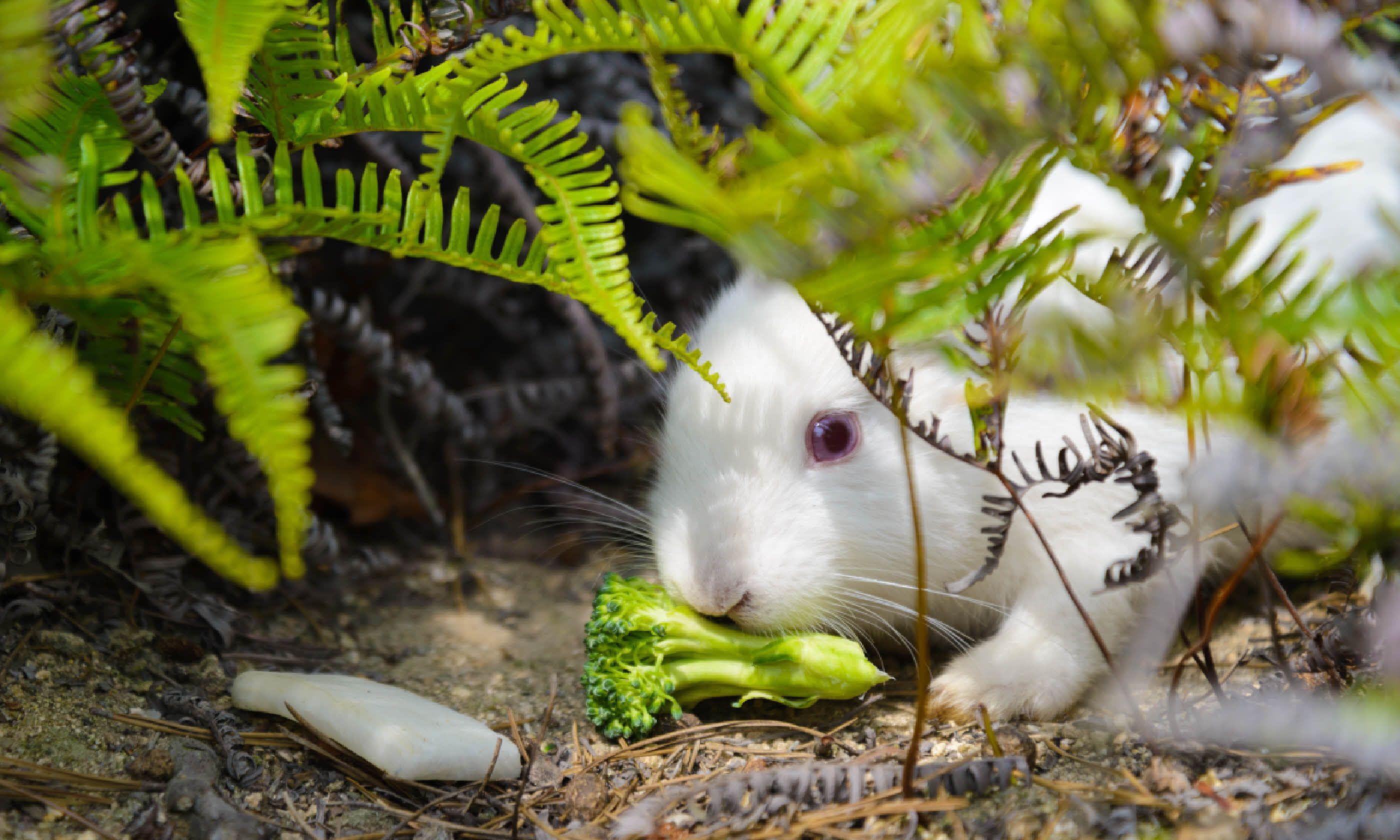 Wild rabbit on Ōkunoshima (Shutterstock)