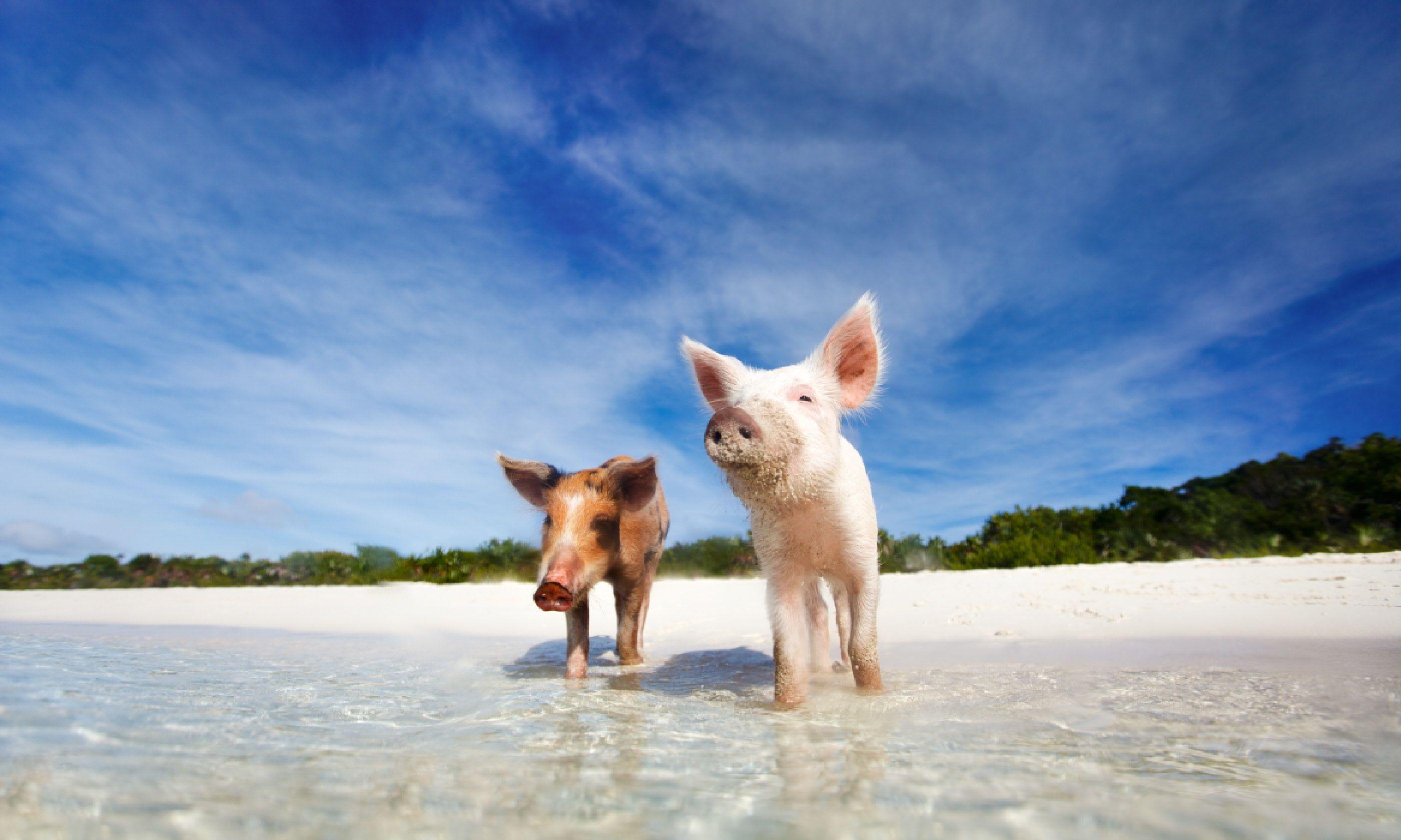 Pig Island (Shutterstock)