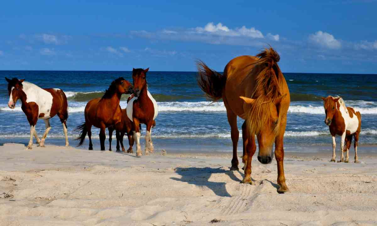 Wild horses of Assateague (Shutterstock)