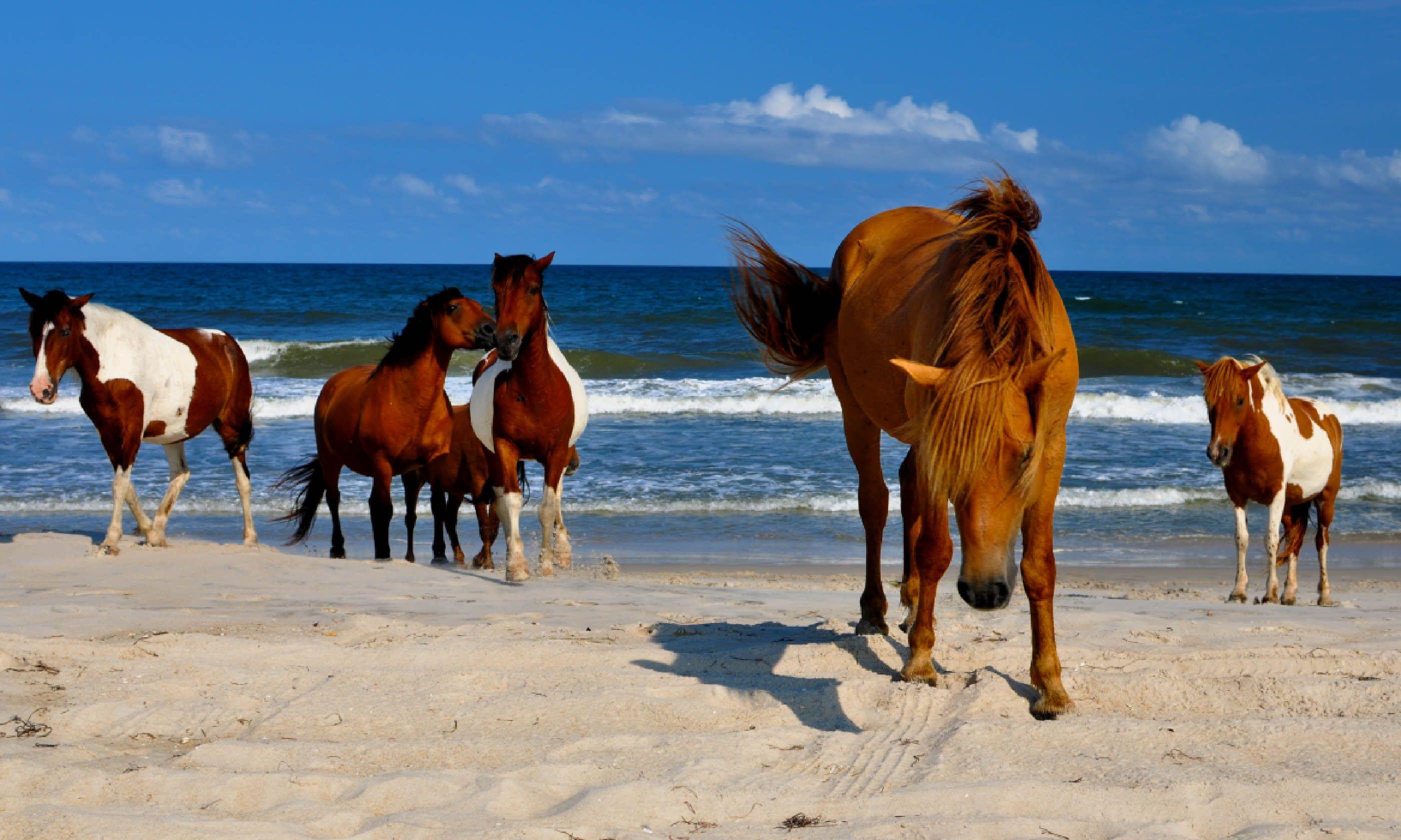 Wild horses of Assateague (Shutterstock)