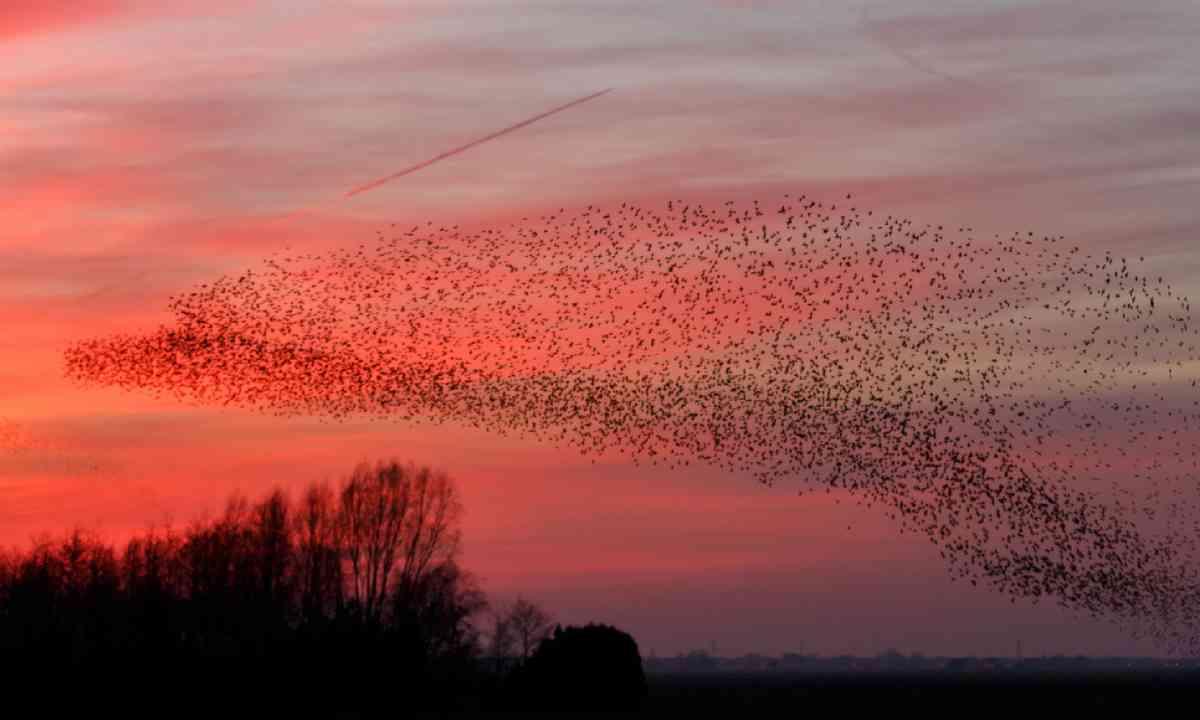 Murmurations of starlings (Shutterstock)