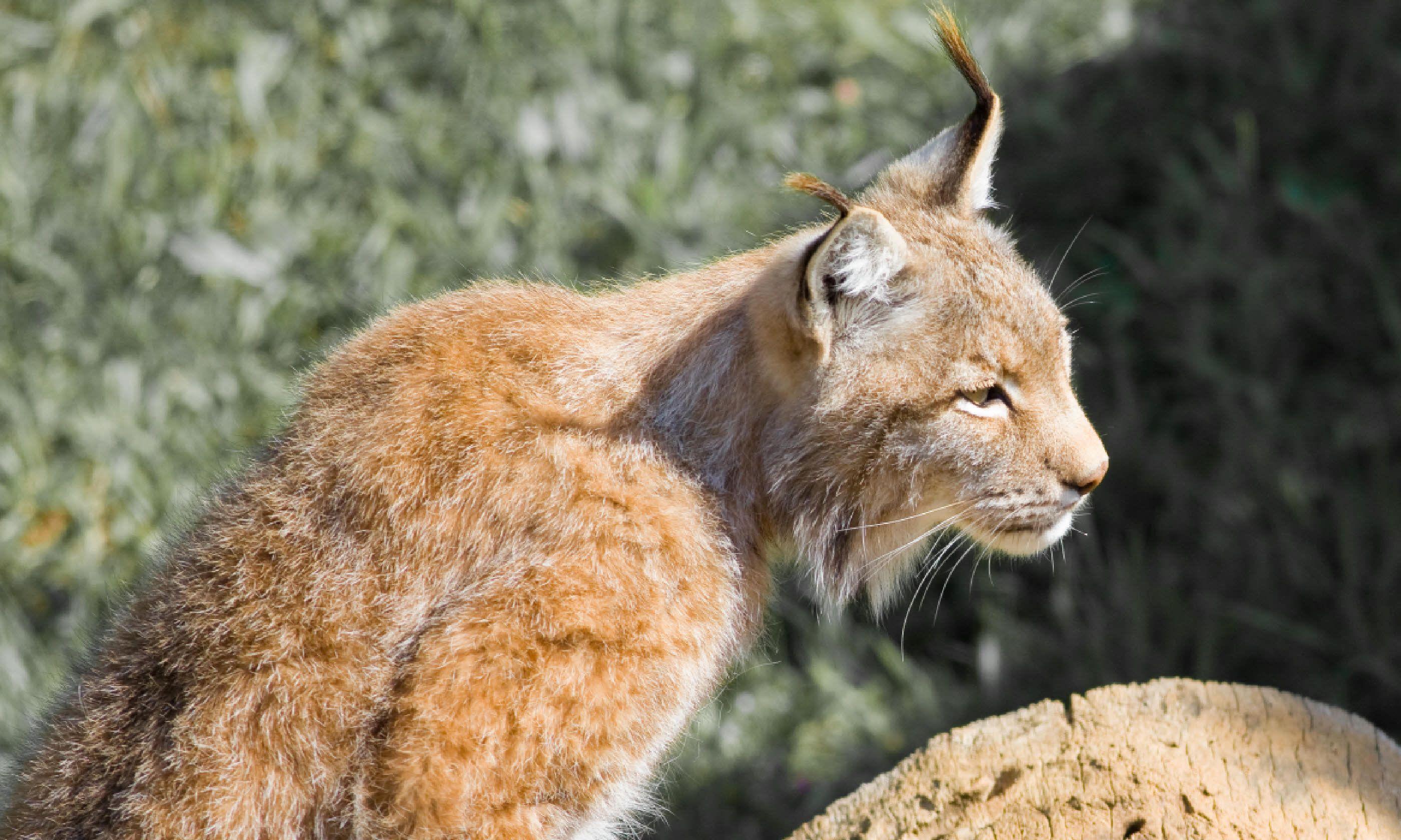 Lynx in Spain (Shutterstock)