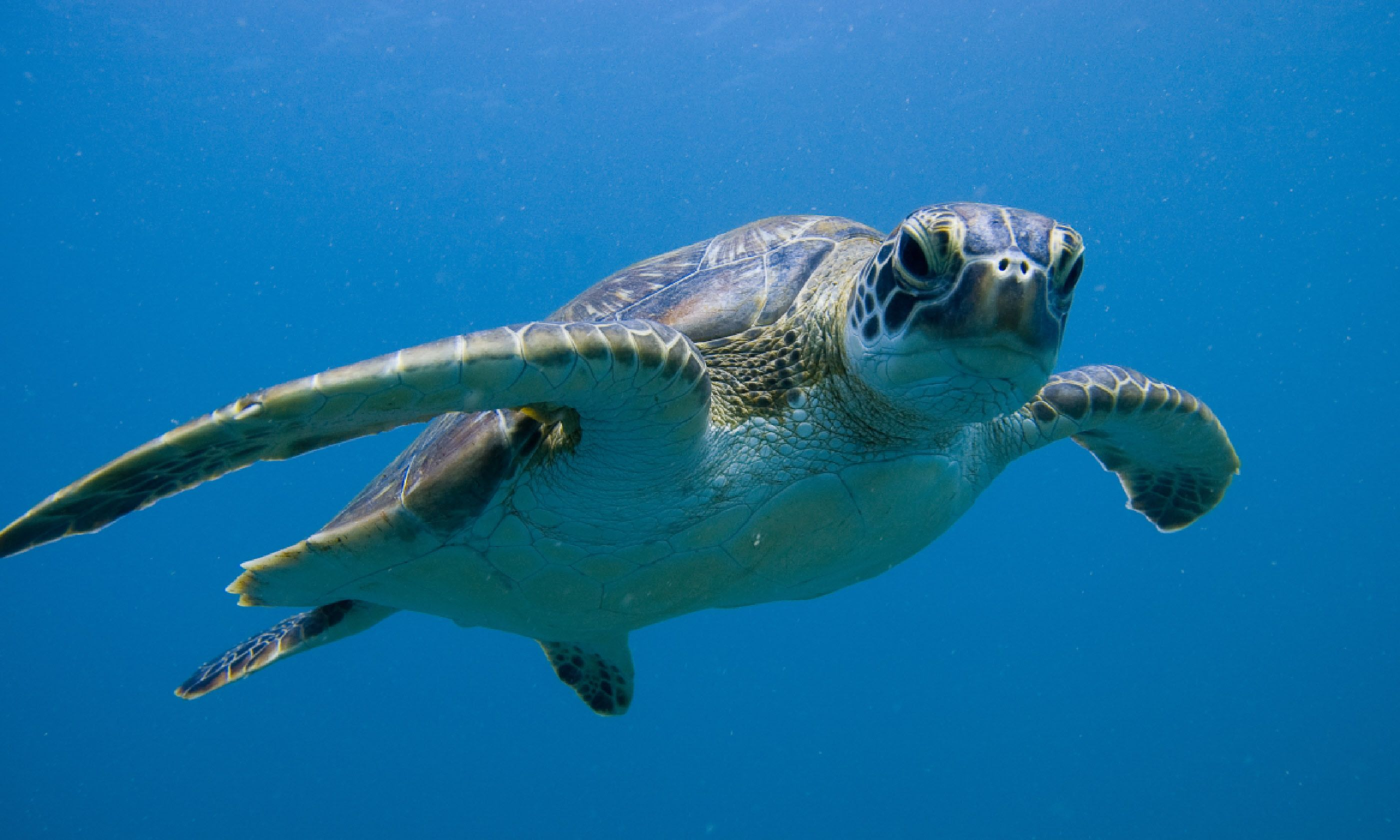 Green sea turtle, Ningaloo Reef (Shutterstock)