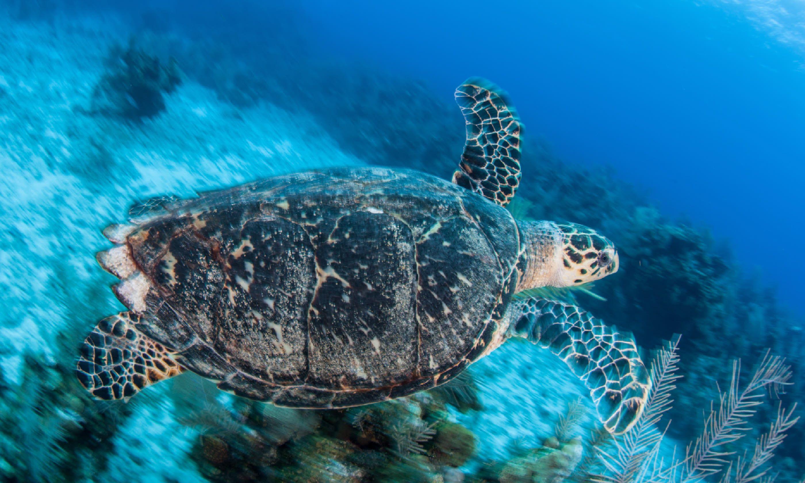 Hawksbill sea turtle, Grand Cayman (Shutterstock)