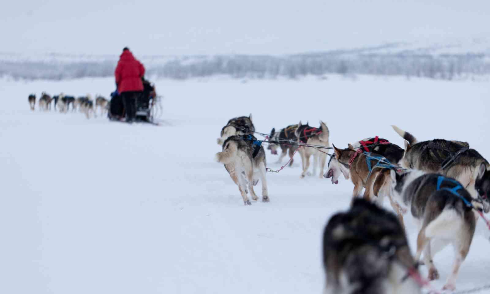 Husky dogs in Sweden (Shutterstock)