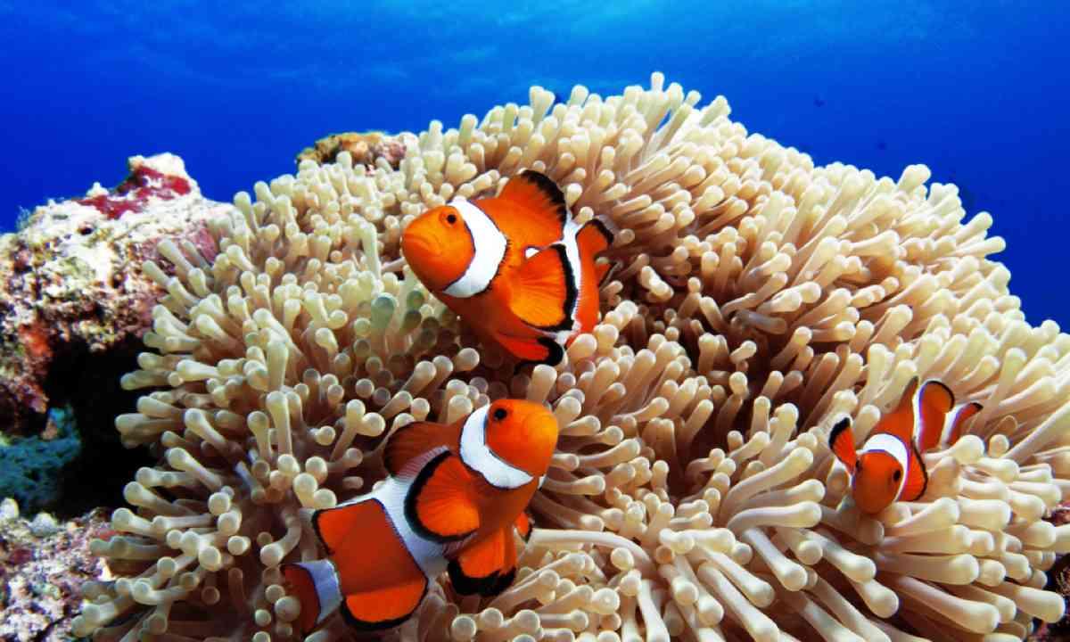 Western clown anemone-fish, Okinawa Islands (Shutterstock)