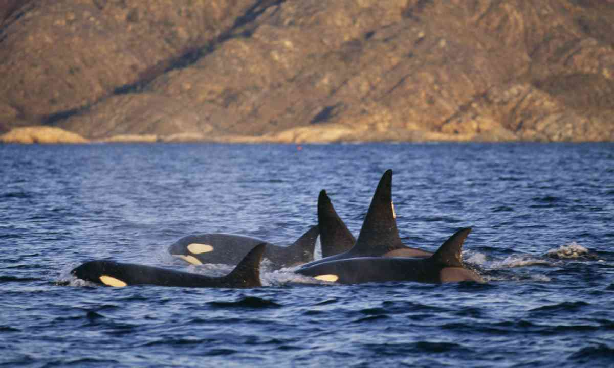 Group of killer whales, Norway (Shutterstock)