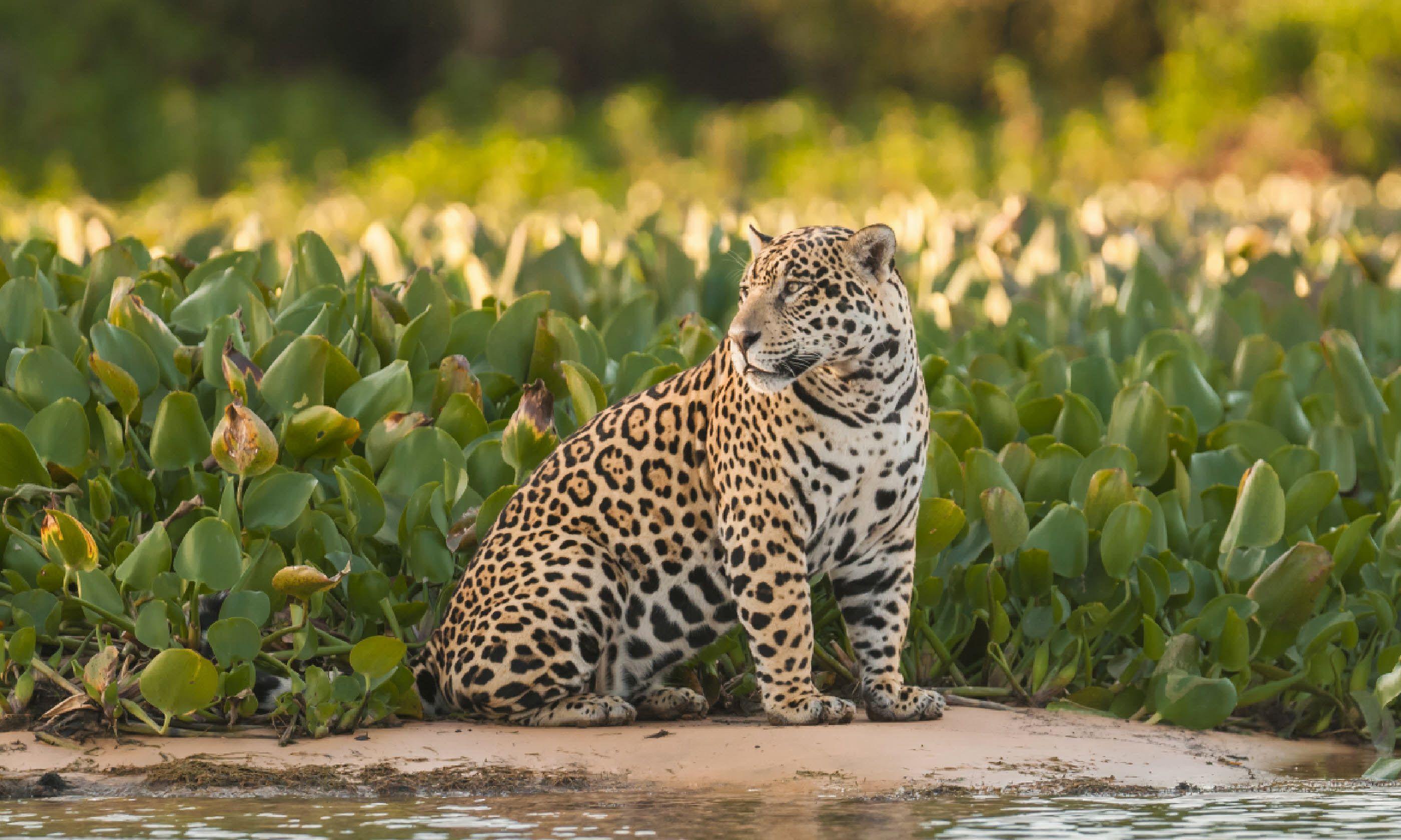 Jaguar in the Pantanal (Shutterstock)