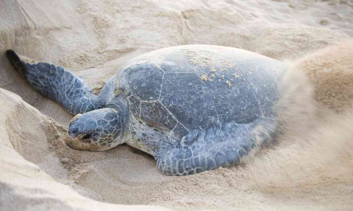 Green Back Turtle busy closing a nest (Shutterstock)