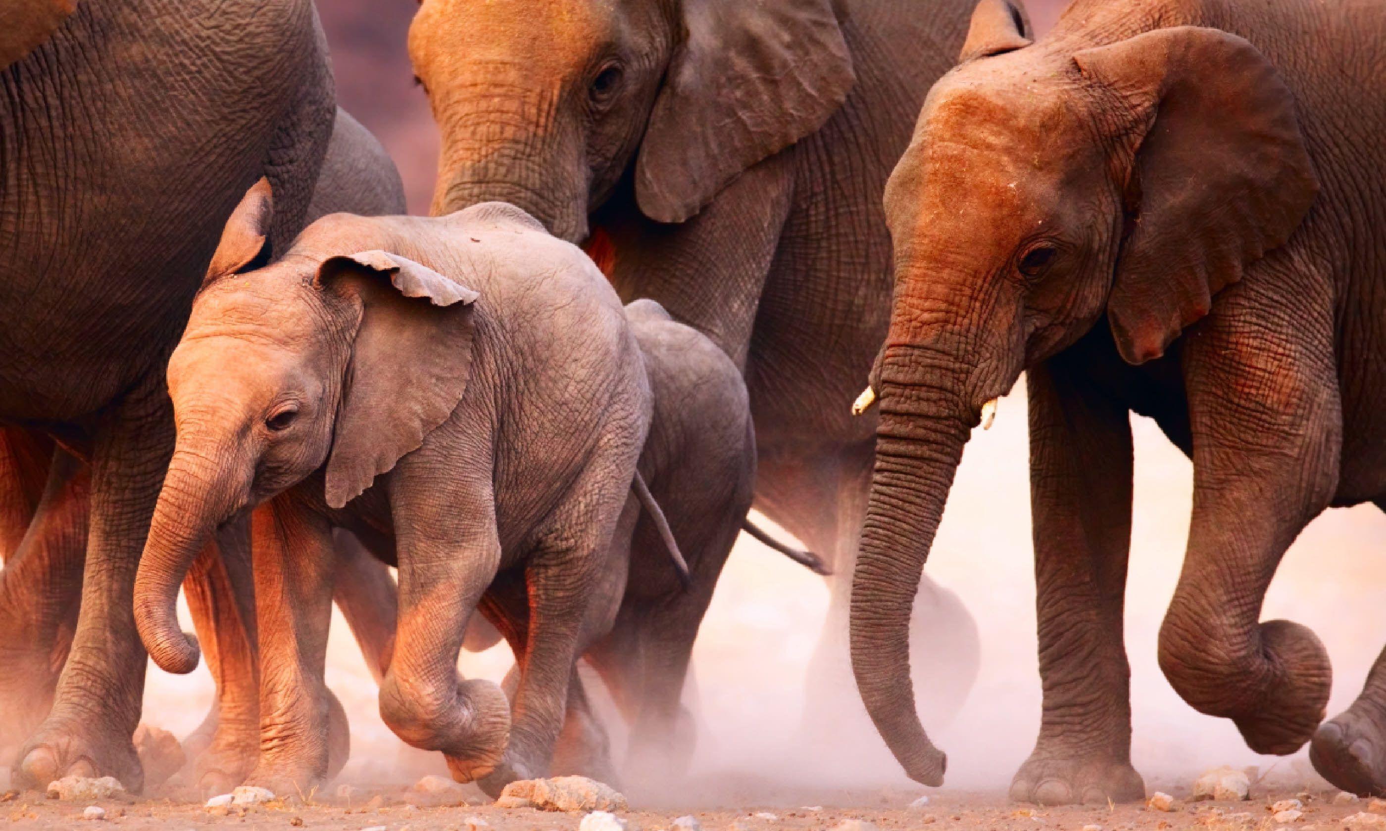Elephant herd on the run in Etosha desert (Shutterstock)