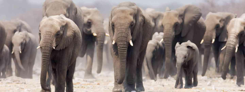 Elephants in Etosha (Shutterstock)