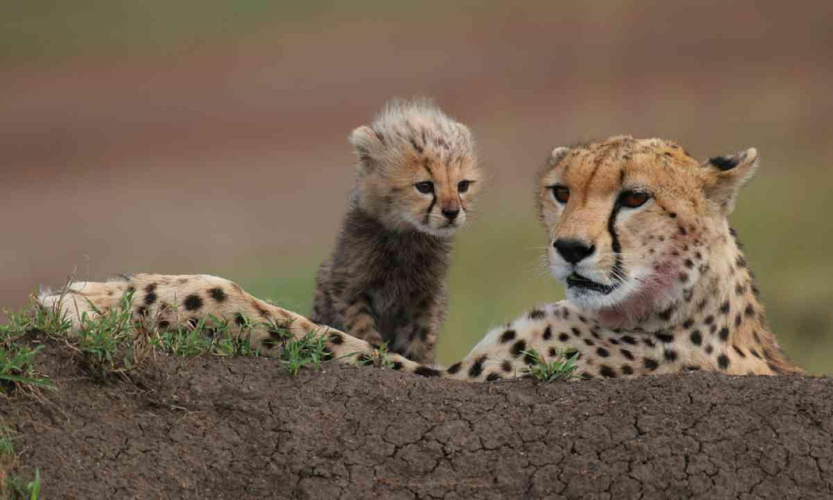 Cheetah with cub, Masai Mara (Shutterstock)