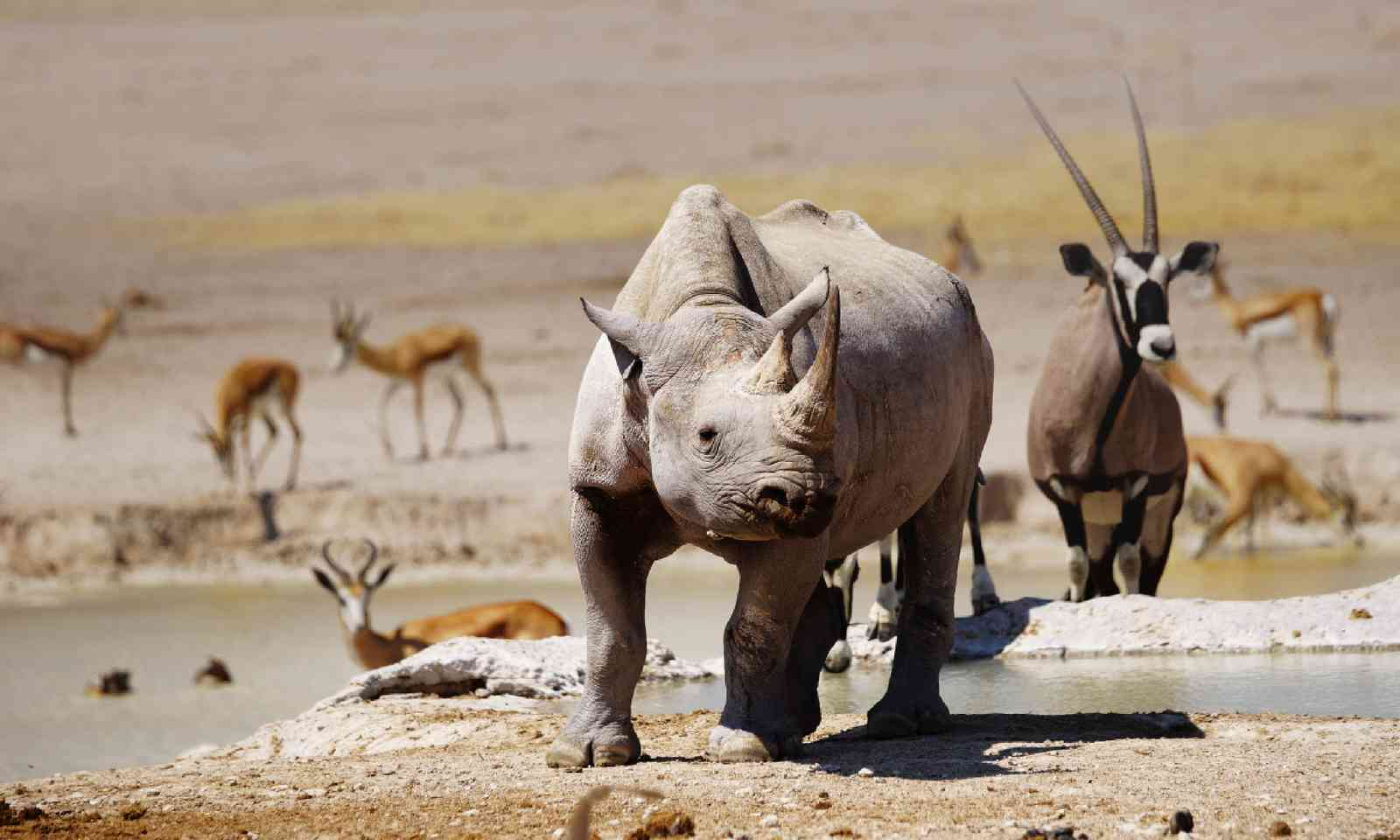 Black rhino, oryx and springboks (Shutterstock)
