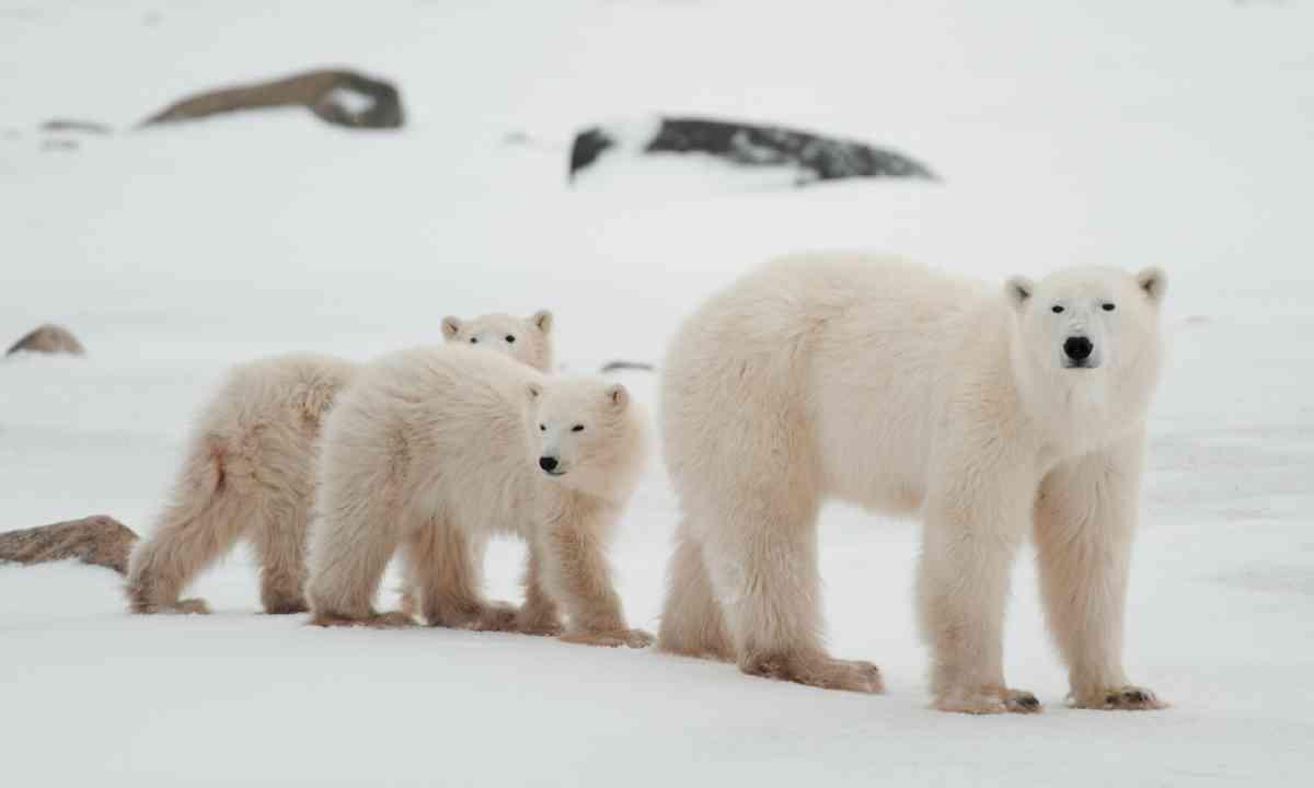 Polar bears, Canada (Shutterstock)