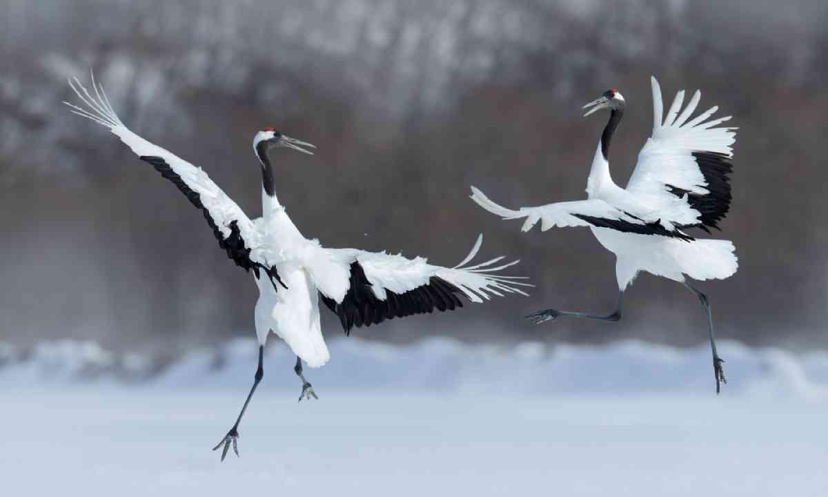 Dancing pair of red-crowned cranes (Shutterstock)
