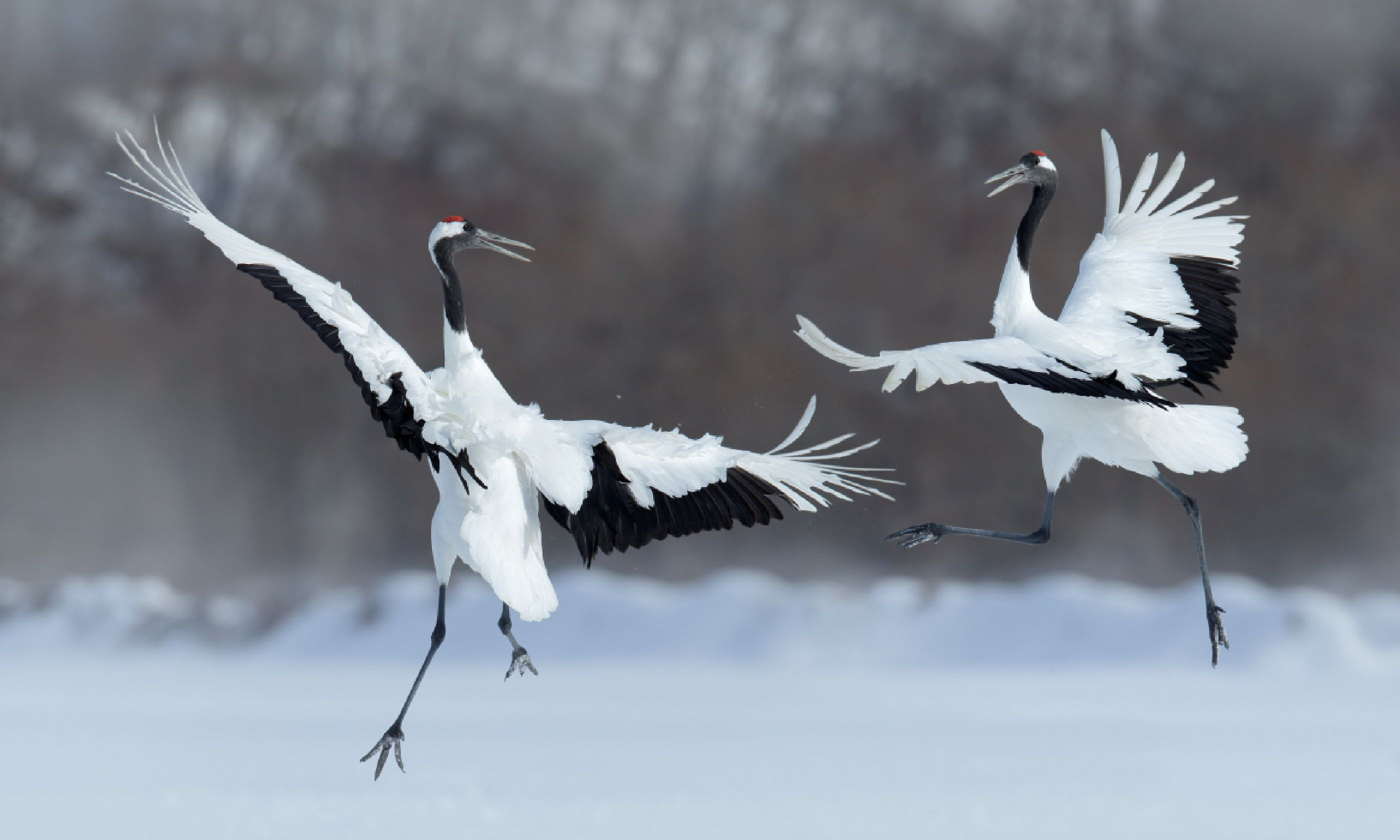 Dancing pair of red-crowned cranes (Shutterstock)