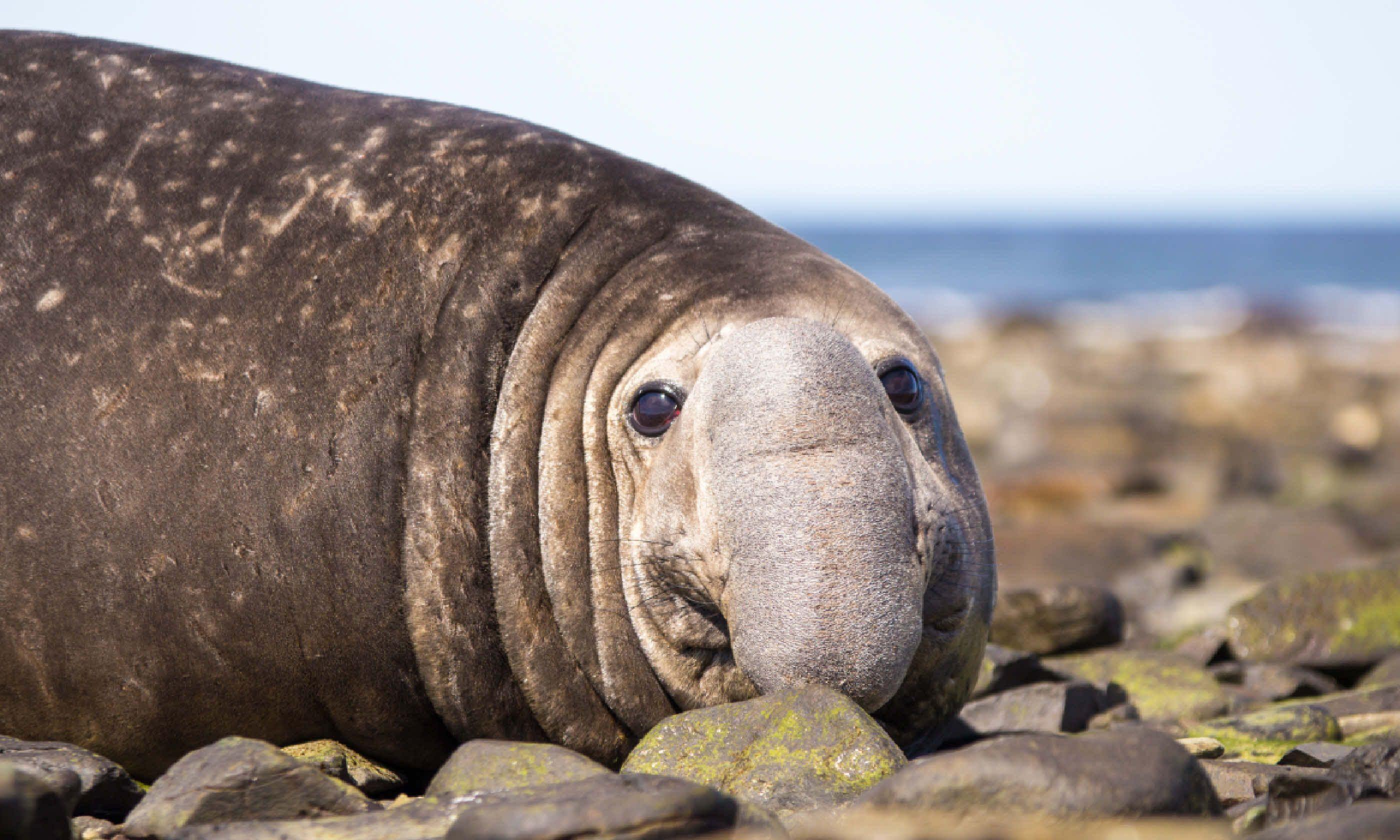 Southern elephant seal (Shutterstock)
