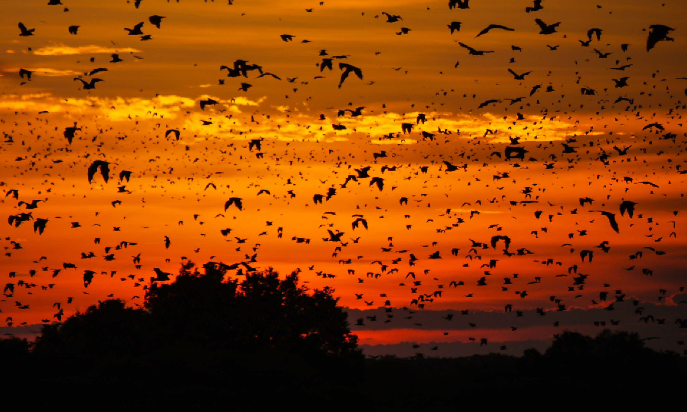 Zambia bats at sunset (Dreamstime)