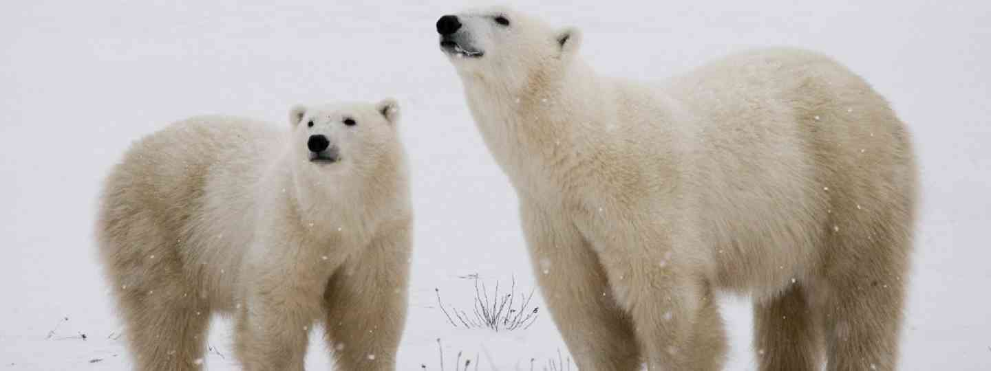 Polar bears, Churchill (Shutterstock)