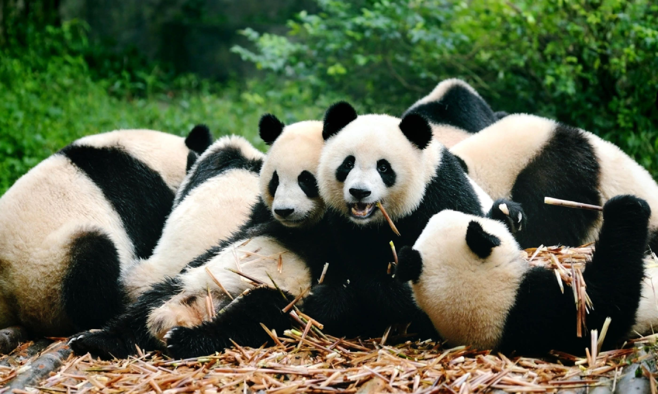 Pandas in Chengdu, China (Shutterstock)