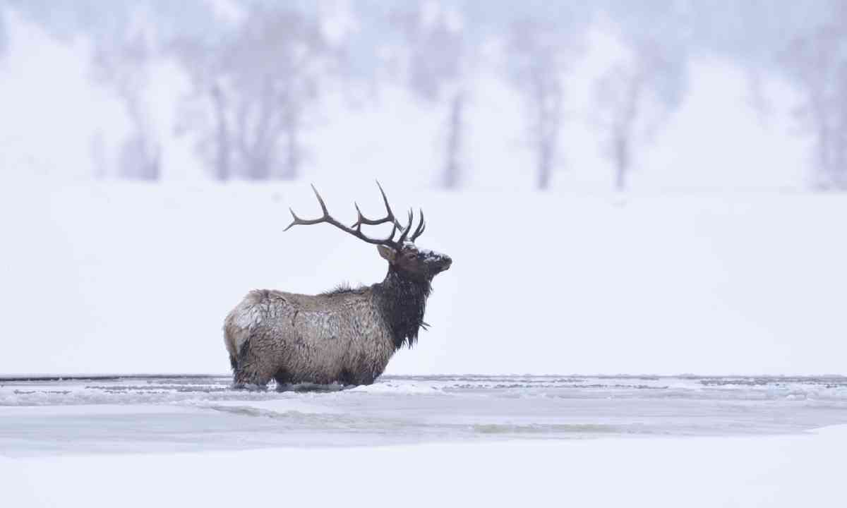 Winter bull elk, Yellowstone National Park (Shutterstock)