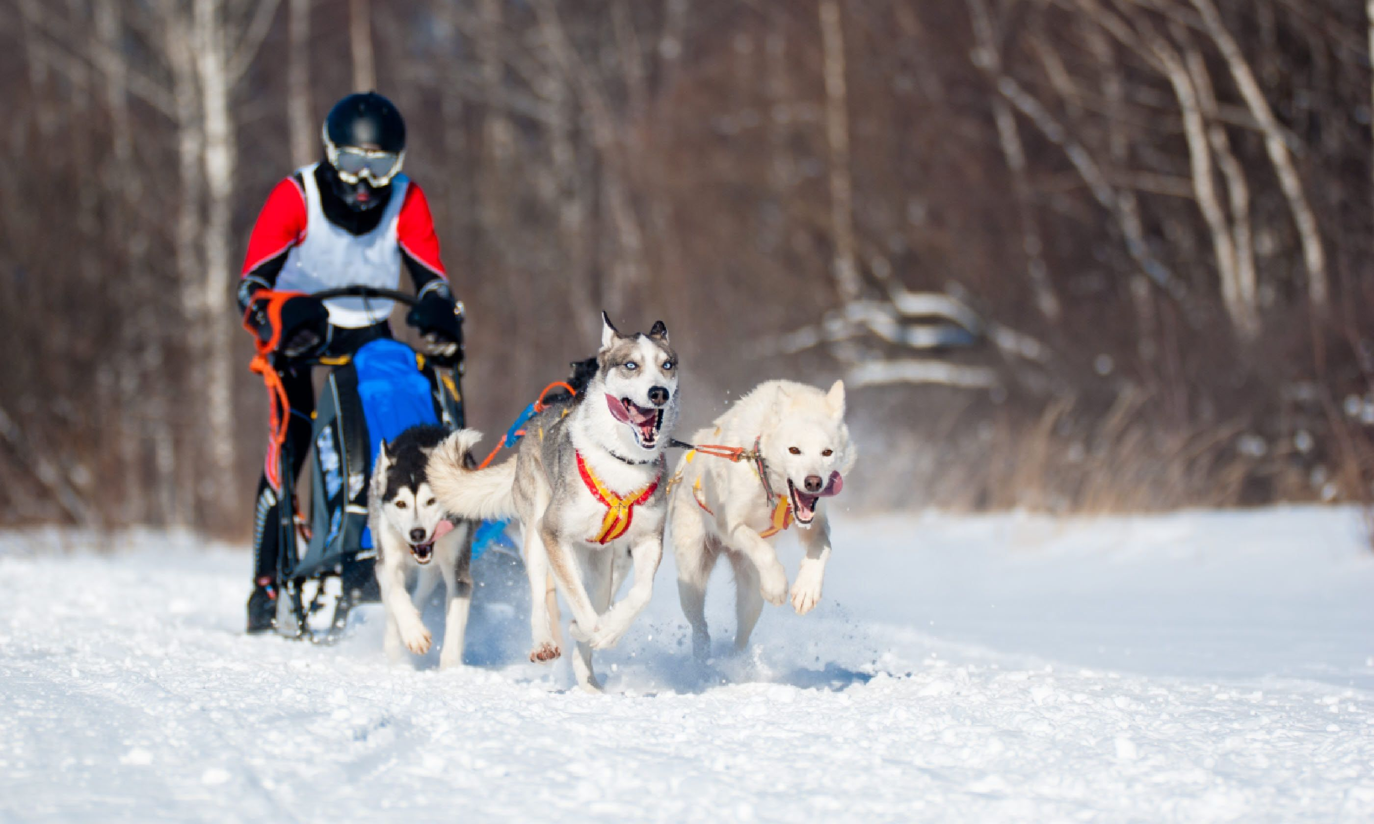 Husky sledding, Yukon (Shutterstock)