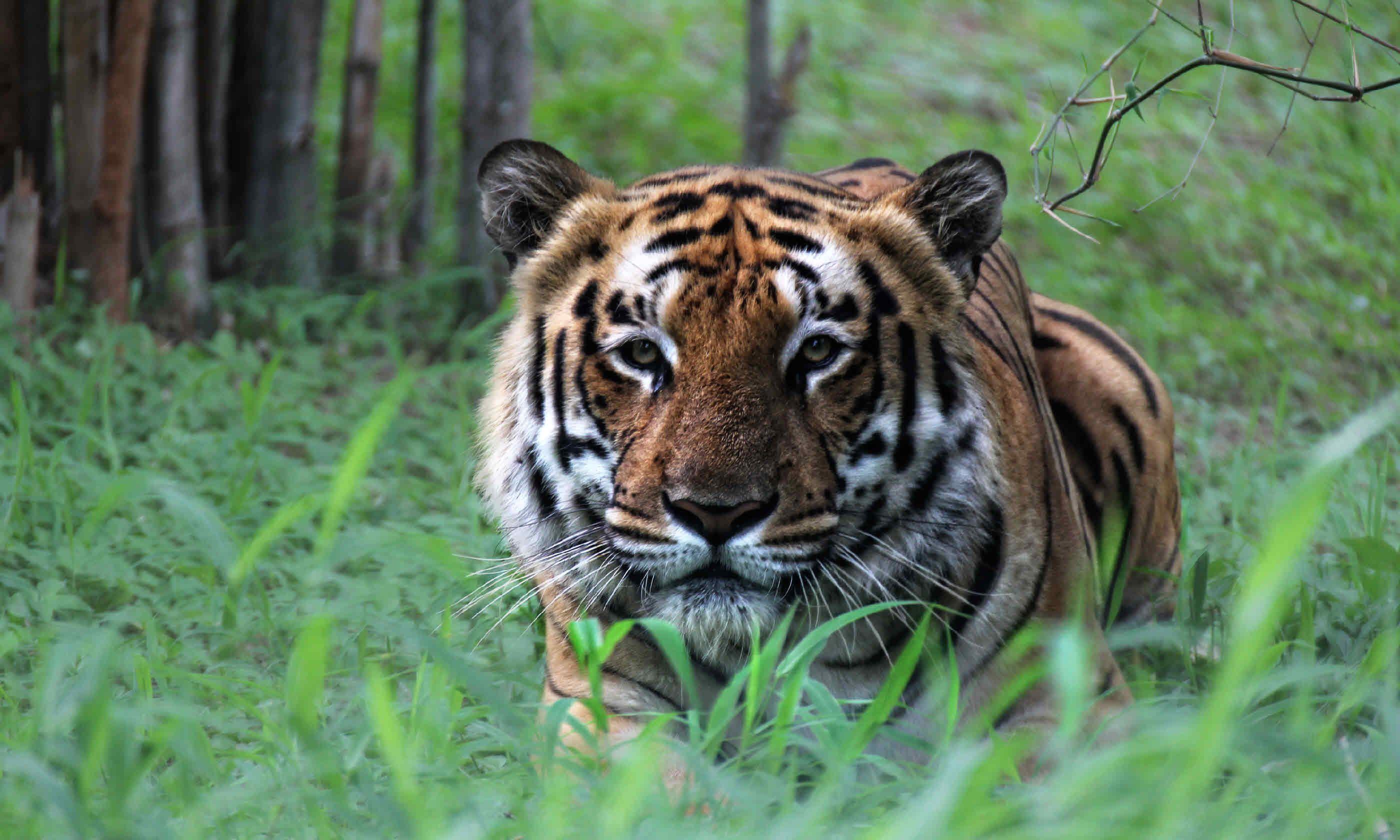 Crouching tiger, India (Shutterstock)