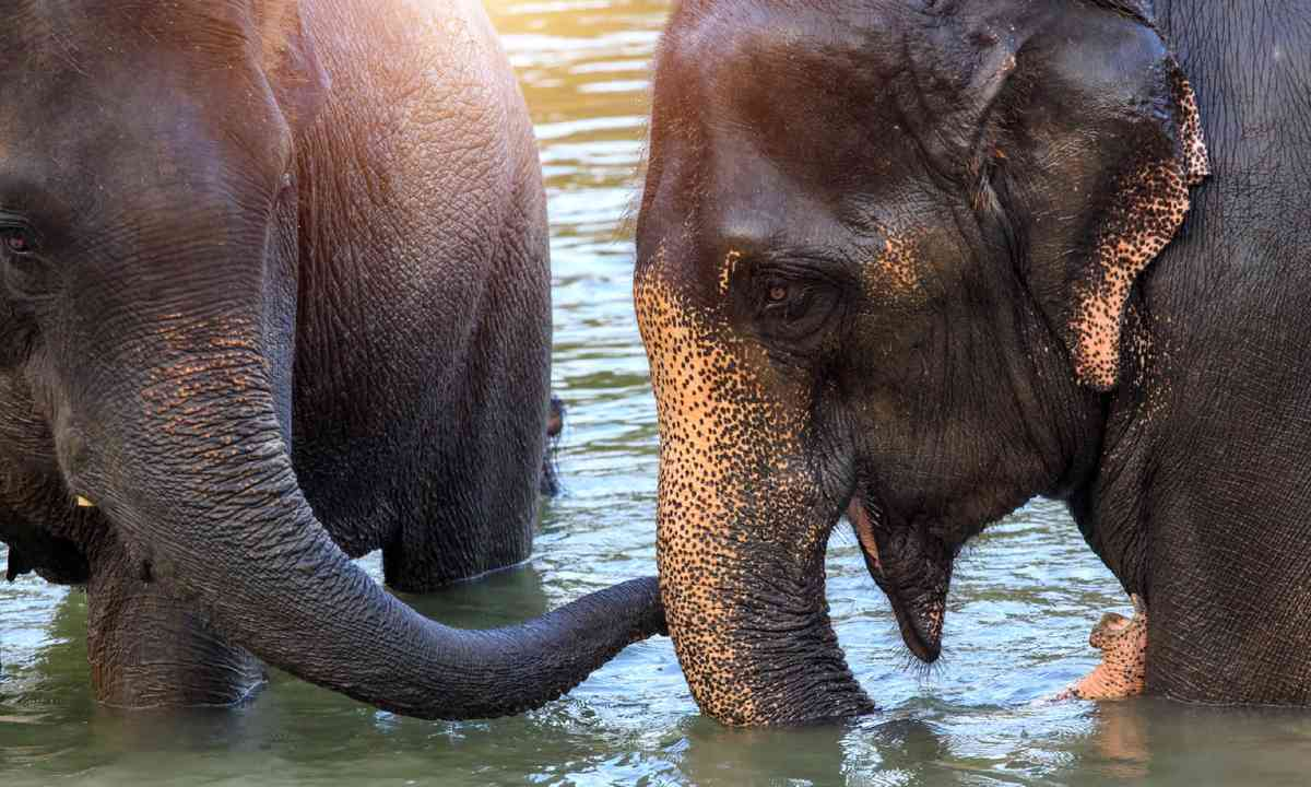 Elephants take a bath in Kwae-noi River, Thailand (Shutterstock)