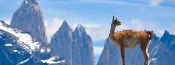 Guanaco admiring the Andes (Shutterstock)