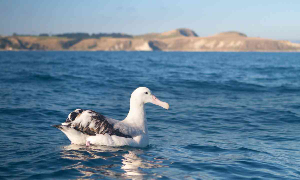 Albatross, New Zealand (Shutterstock)