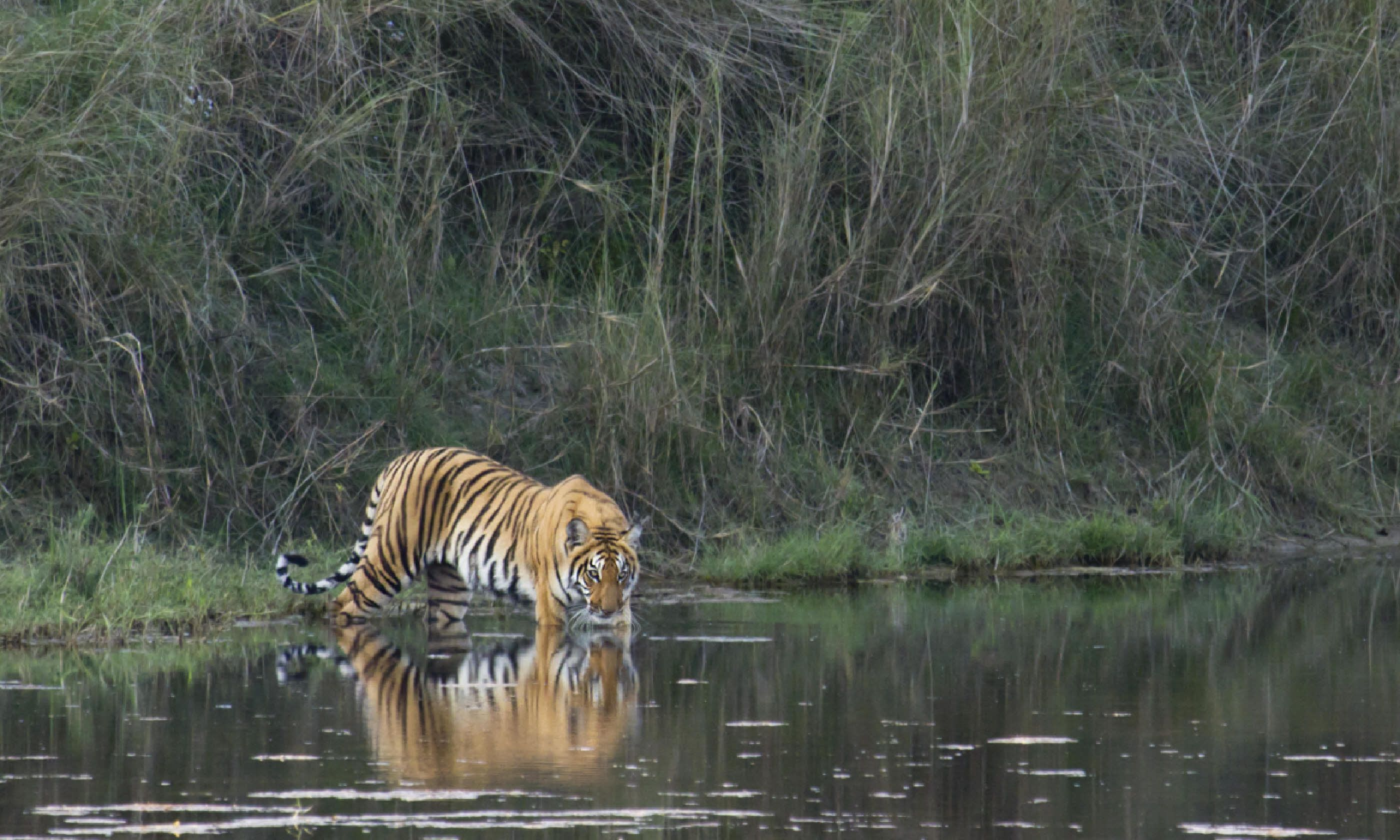 Tiger, Chitwan National Park (Shutterstock)