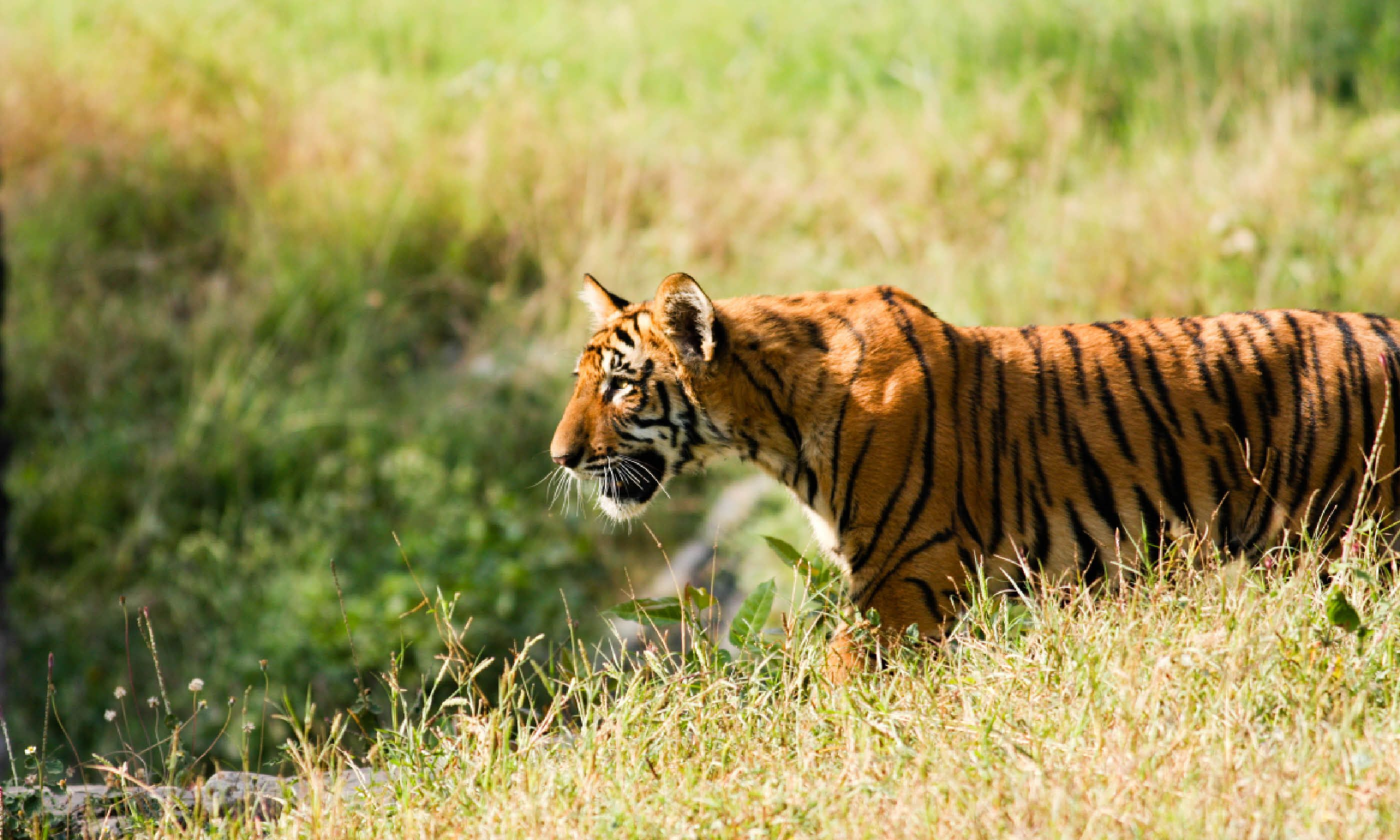 Tiger cub in the grass (Shutterstock)
