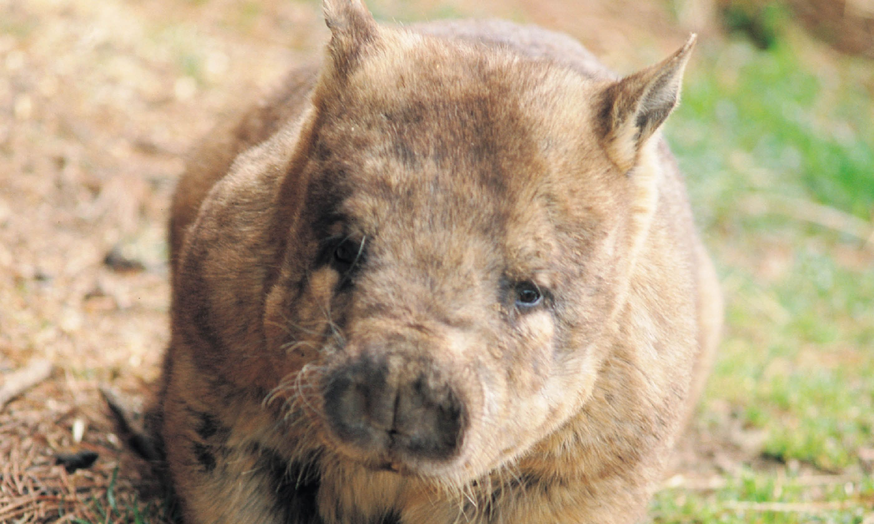 Wombat, South Australia (Tourism SA)