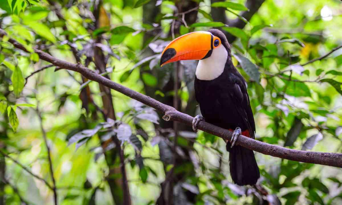 Toucan in the rainforest (Shutterstock)