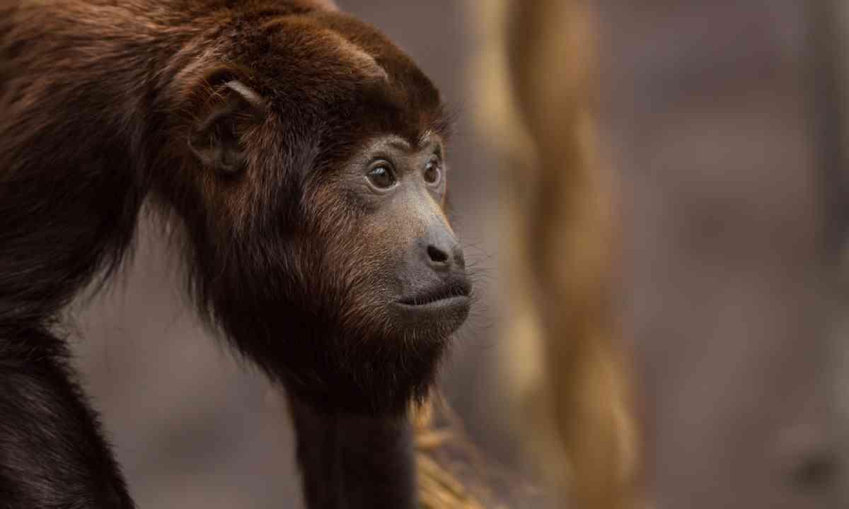 Howler monkey (Shutterstock)