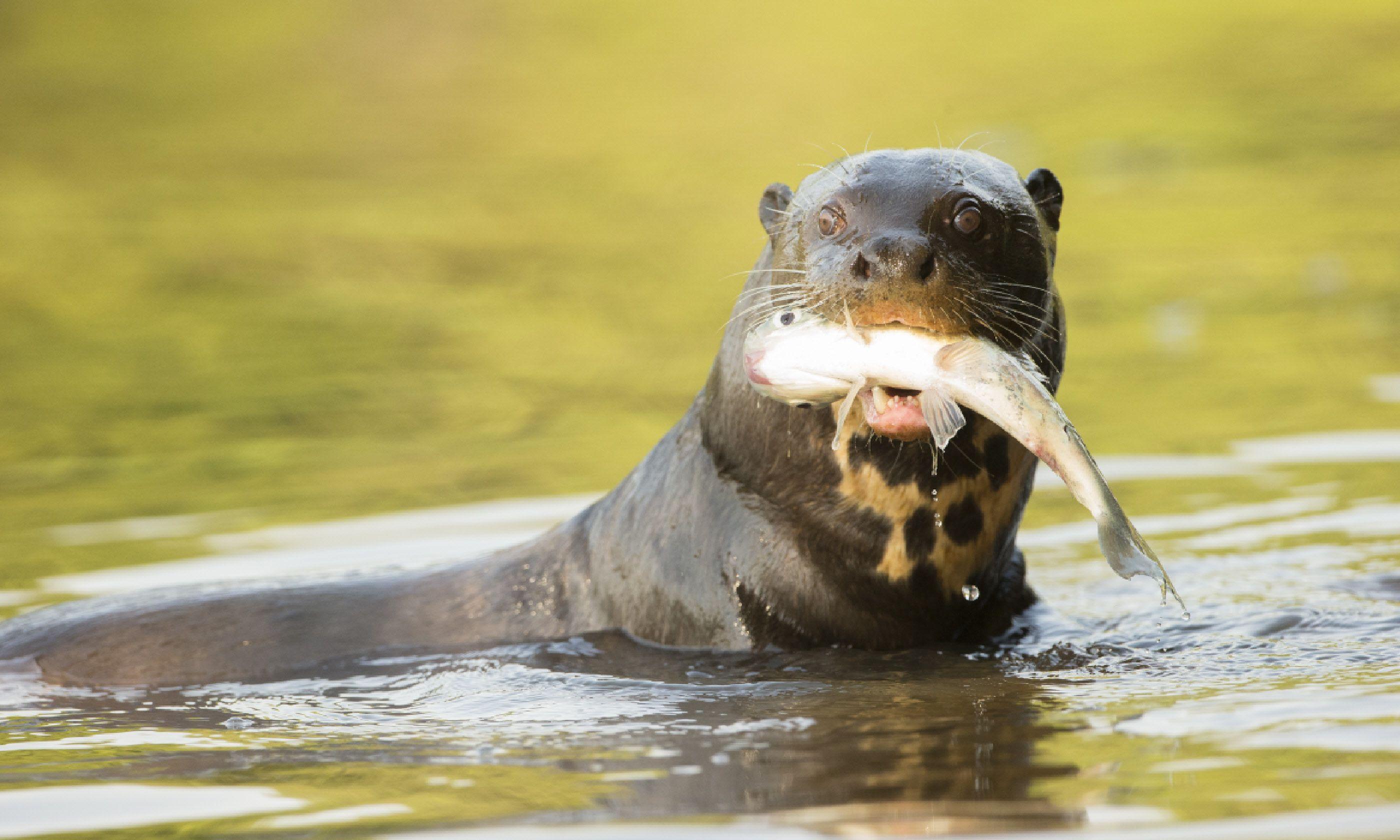 Giant otter (Shutterstock)
