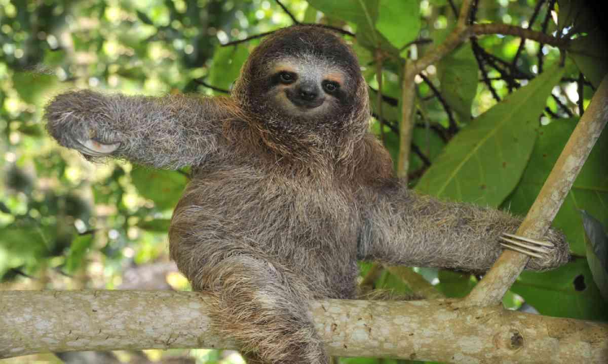 Three-toed sloth (Shutterstock)